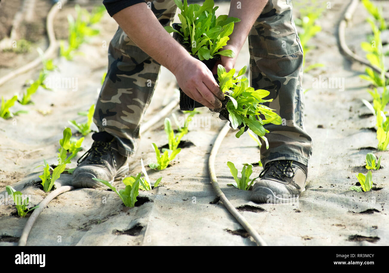 Farm worker or farmer planting salad greens in spring placing the seedlings in rows in perforated plastic in a specially prepared bed - Stock Image