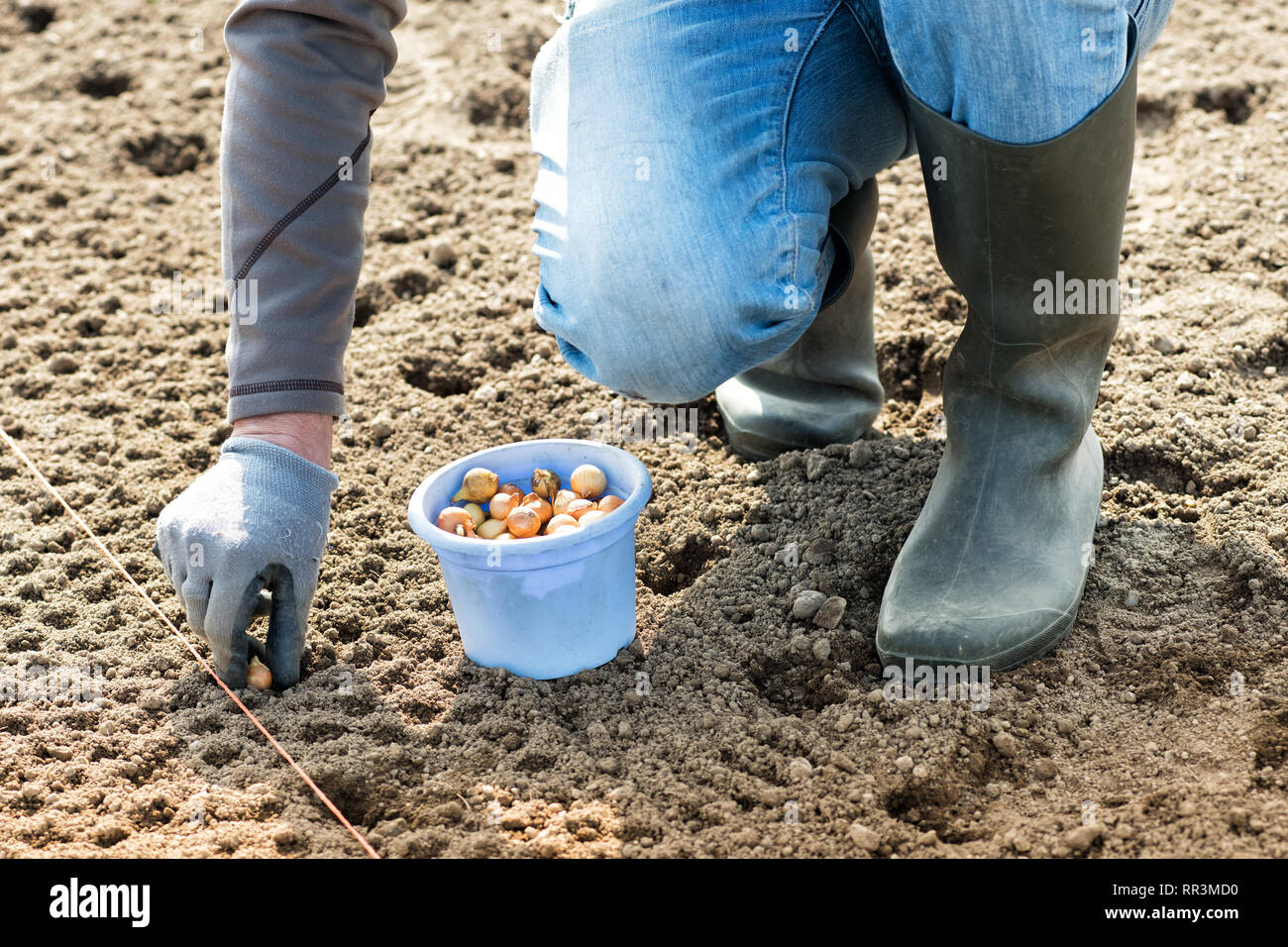 Farmer planting white onion seeds into the field into a specially prepared bed in a concept of agronomy and the spring season - Stock Image