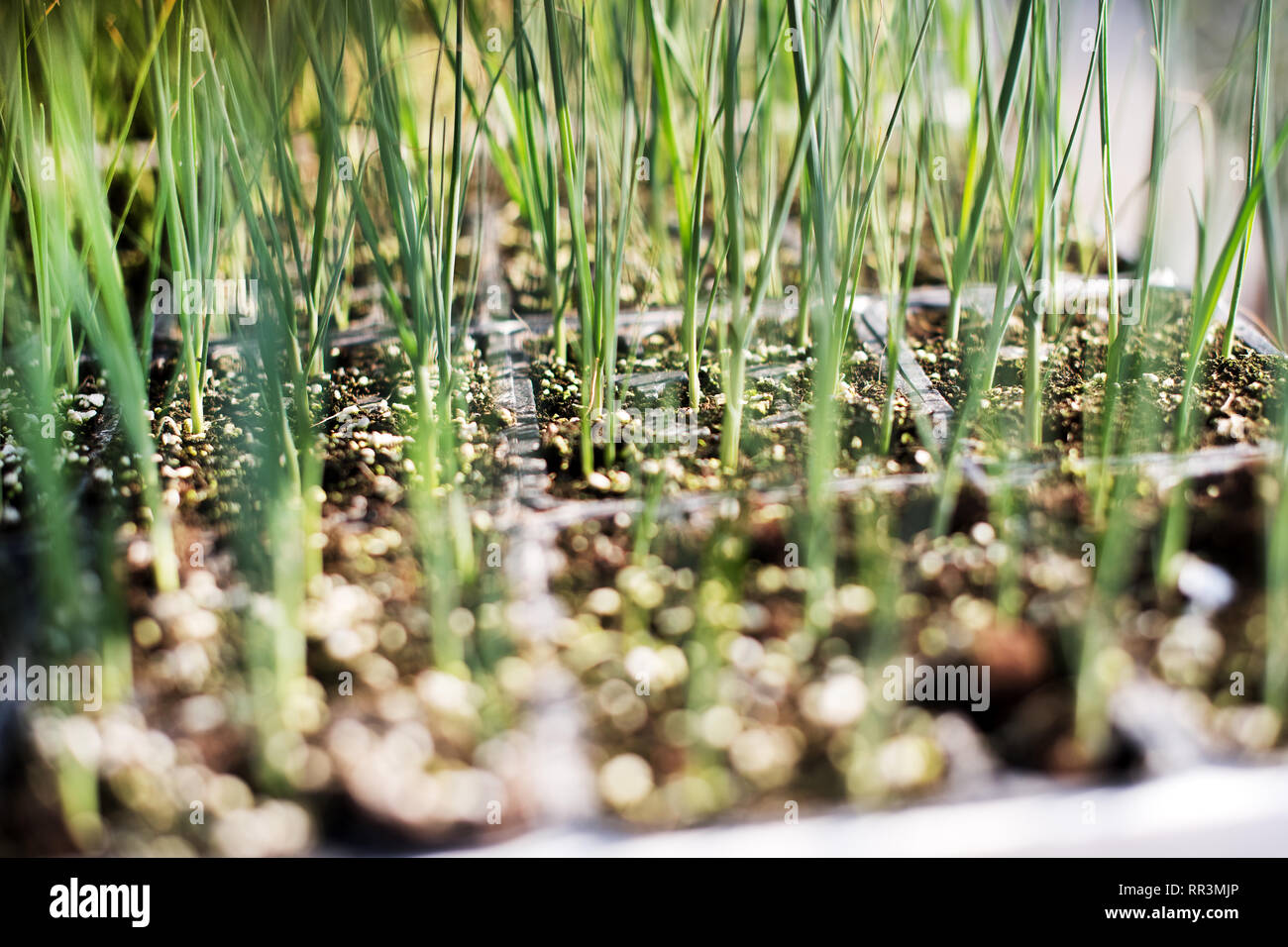 Young leek seedlings redy for transplanting in trays on a farm in a close up low angle view - Stock Image