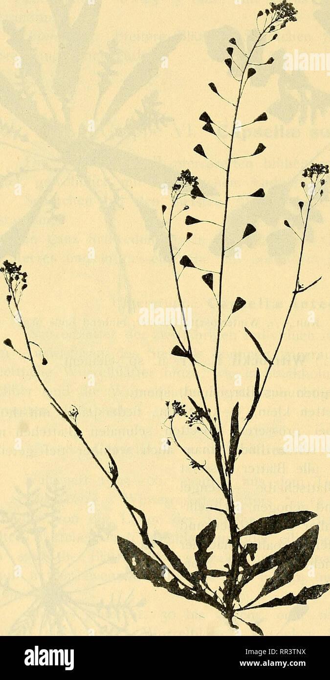 . Acta horti bergiani : Meddelanden fr Kongl. Svenska Vetenskaps-Akademiens Trgd Bergielund. Botany. 56 ACTA HORTI 15ERGIANI. BAND 4. N.O 6. blätter fast ganzrandig, schwach gezackt oder etwas buchtig. Schötchen wie oben. Nicht selten sehr niedrig und unverzweigt, sogar mit entwickelten Schötchen nur 3 cm. hoch. 40. Capsella b. p. (L.) subalpina E. At. n. sp. dement. Kultiviert 1902—06. Samen aus Härjedalen, Lillherrdal, von Pfarrer S. J. Enander, und aus Ramsele von Doktor O. Bengts- son 1902 gesammelt.- Zivcijährig. Winterrosetten 6—8 cm. im Durchmesser. Blatt- stiel etwa von der Länge der S - Stock Image