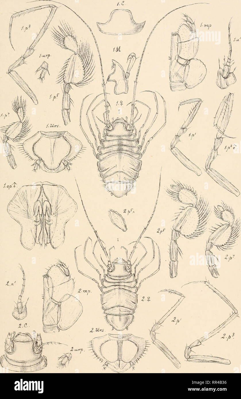 . An account of the Crustacea of Norway, with short descriptions and figures of all the species. Crustacea -- Norway. Munnopsidae. I s op o da._ PI. 68.. G.O. S ars, autogr . 1. Eurycope mutica, G. 0. Sars. 9. Eurvcnne nv^maea. G.O. Sars.. Please note that these images are extracted from scanned page images that may have been digitally enhanced for readability - coloration and appearance of these illustrations may not perfectly resemble the original work.. Sars, G. O. (Georg Ossian), 1837-1927. Christiania, Copenhagen, A. Cammermeyer - Stock Image
