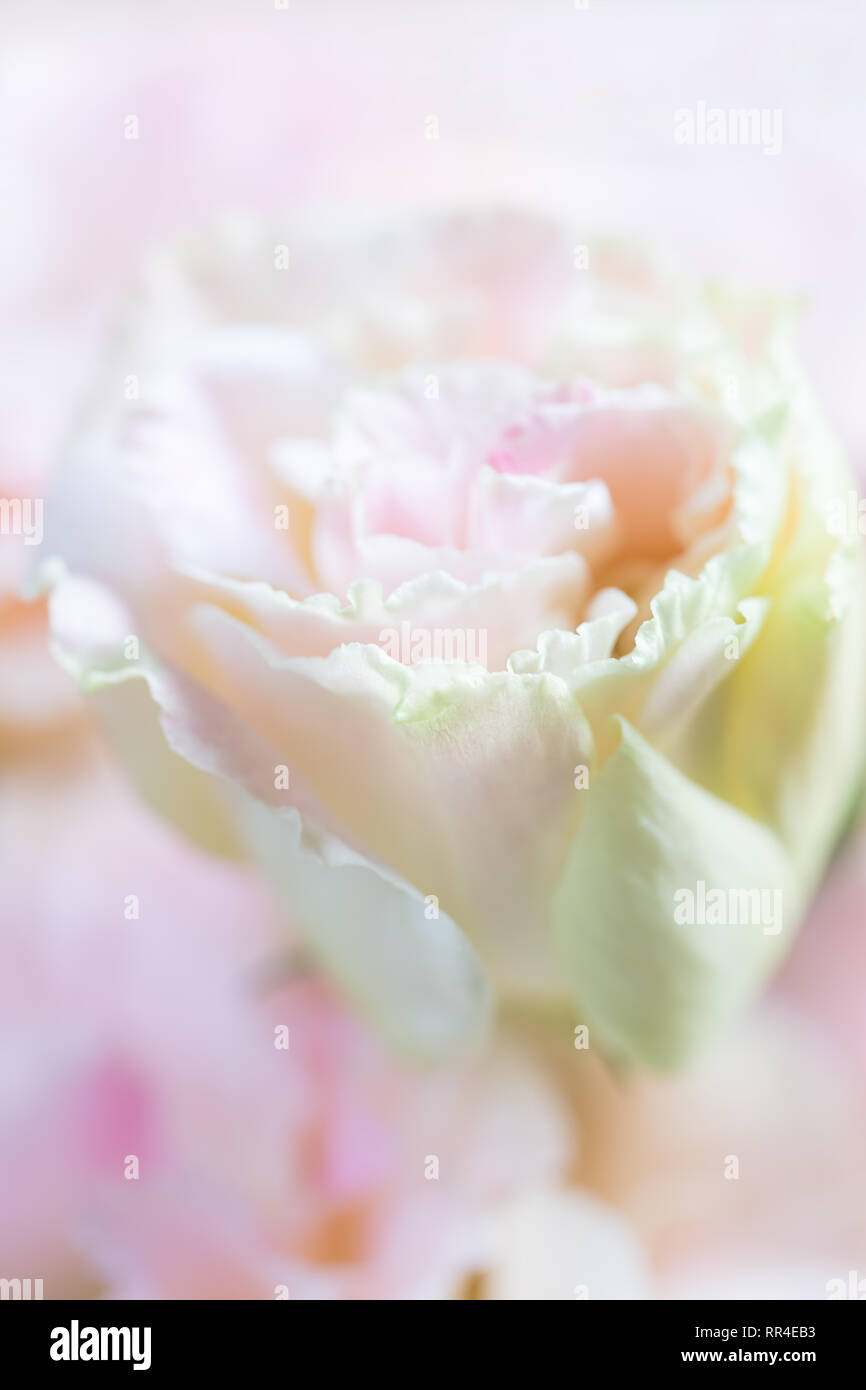Beautiful and gentle pink Eustoma flowers, Lisianthus, tulip gentian, eustomas. Close up, vertical composition - Stock Image