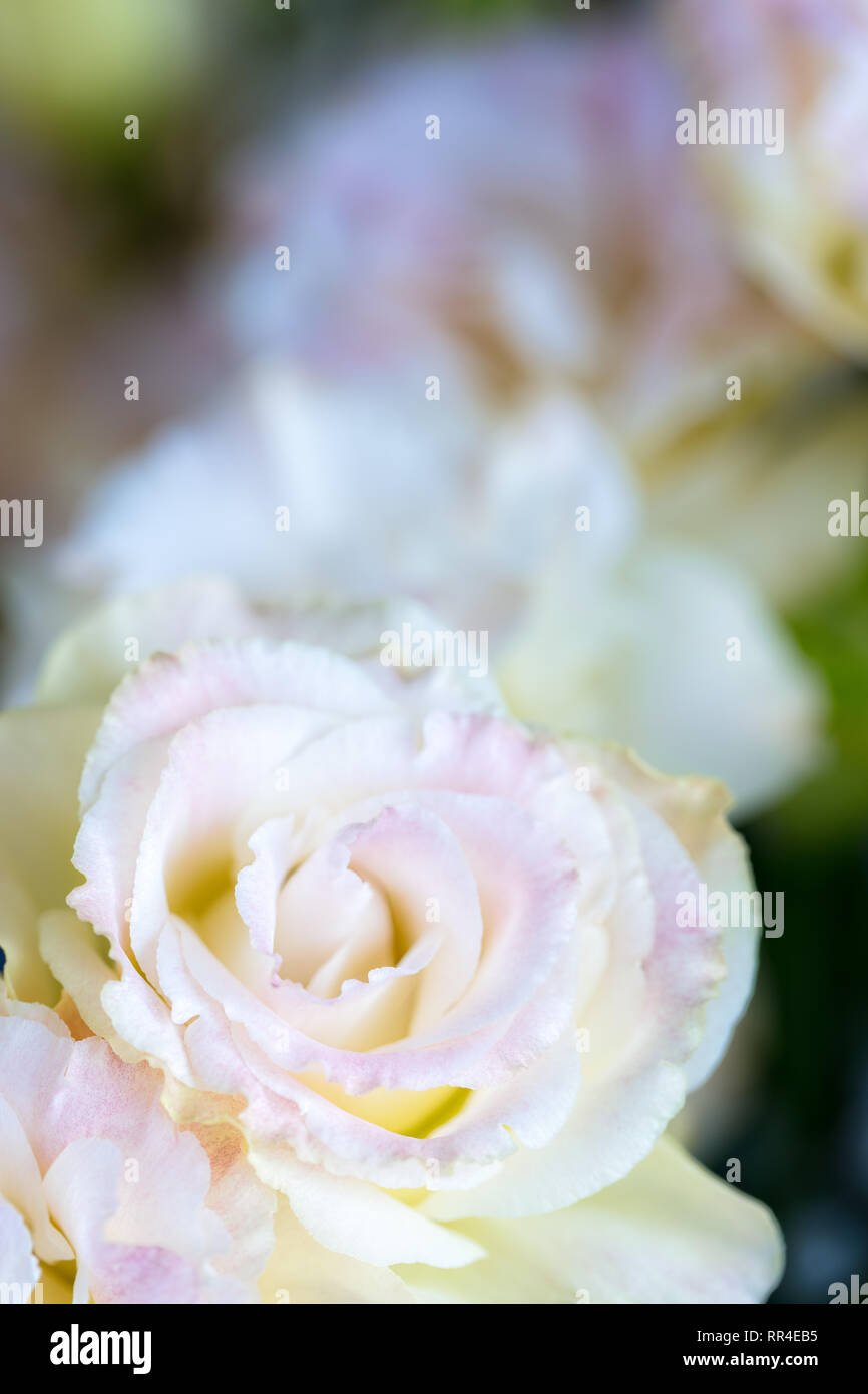 Beautiful and gentle pink Eustoma flowers, Lisianthus, tulip gentian, eustomas, vertical composition. Close up. - Stock Image