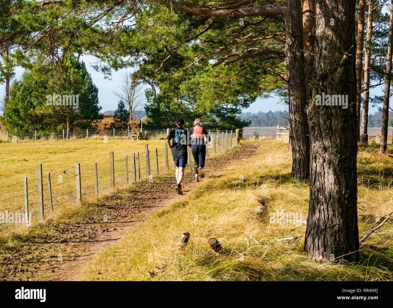 John Muir Country Park, Dunbar, East Lothian, Scotland, United Kingdom, 24th February 2019. People running on a Scots pine tree forest path next to a fenced field on an unusually warm sunny Winter day - Stock Image