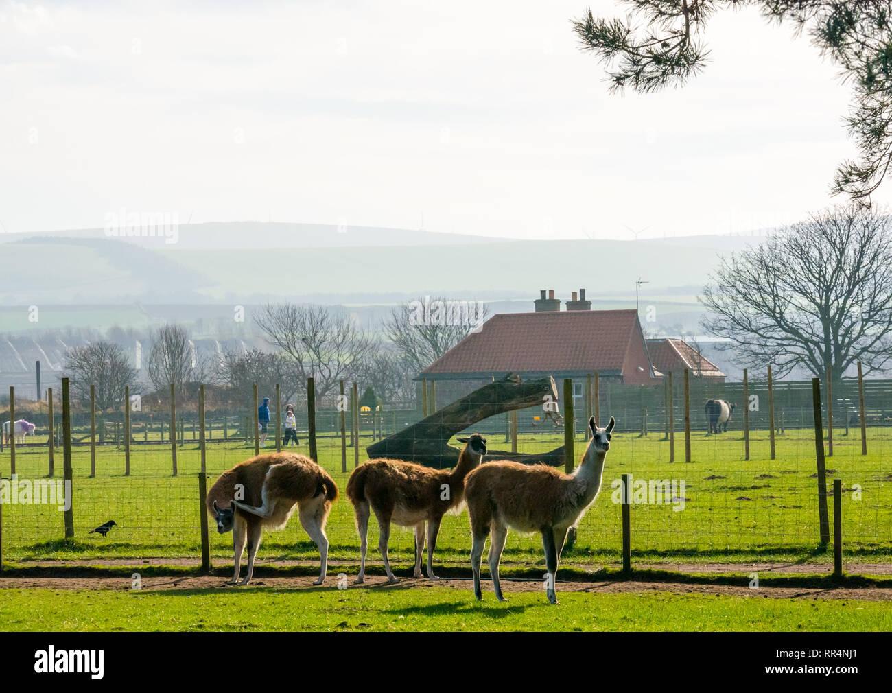John Muir Country Park, Dunbar, East Lothian, Scotland, United Kingdom, 24th February 2019. Llamas at East Links Family Park on an unusually warm sunny Winter day - Stock Image