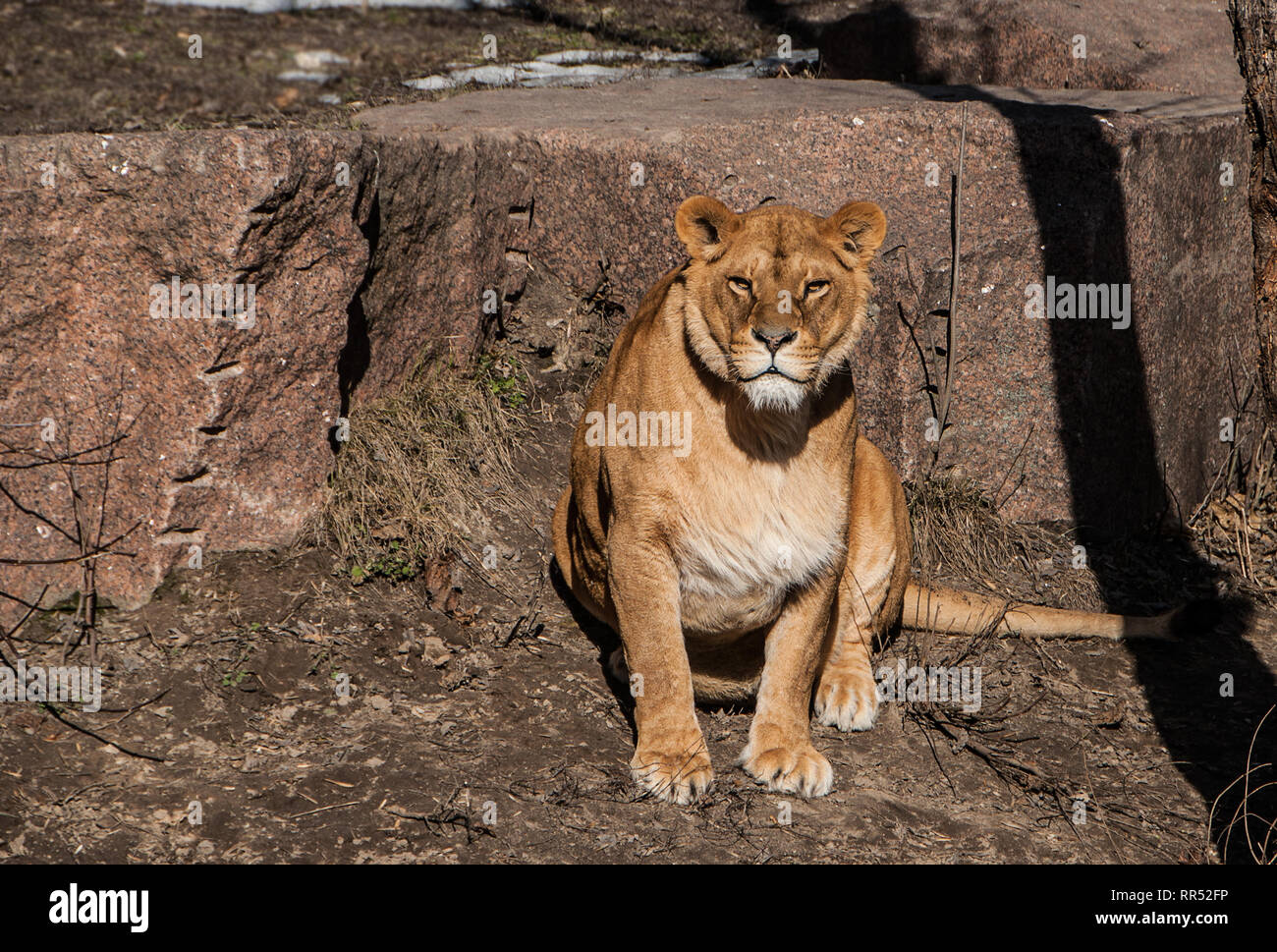 Lioness sitting and looking forward under the sun. Closeup of big wild female cat with yellow eyes resting in a daytime. Stock Photo