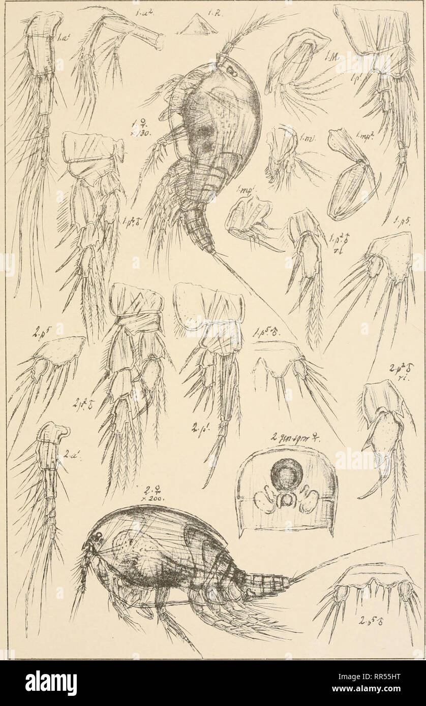. An account of the Crustacea of Norway, with short descriptions and figures of all the species. Crustacea -- Norway. ThaJestridae Copepoda Harpacticoida piLsxxvnr. G.O. Sars, autogr. Westwoodia minuta (Glaus) Westwoodia py^maea (Scott) Norsk Lithgr. Officin.. Please note that these images are extracted from scanned page images that may have been digitally enhanced for readability - coloration and appearance of these illustrations may not perfectly resemble the original work.. Sars, G. O. (Georg Ossian), 1837-1927. Christiania, Copenhagen, A. Cammermeyer - Stock Image