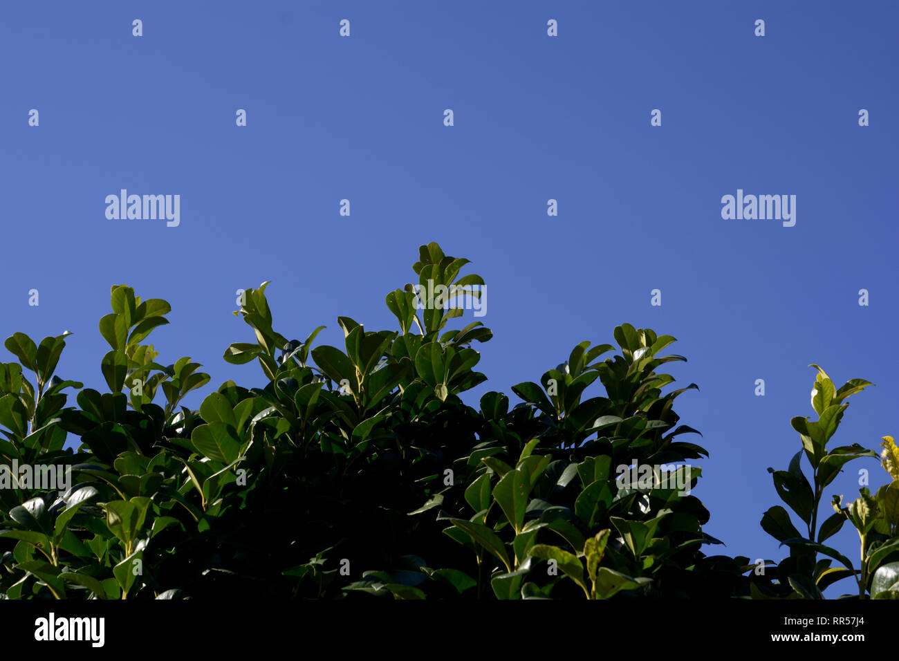 fresh bright-green shoots of a prunus laurocerasus in early spring in front of clear azure sky, cherry laurel hedge with young green leaves in spring - Stock Image