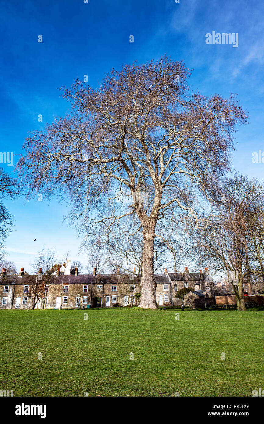 Giant tree at Jesus College Cambridge University, England - Stock Image