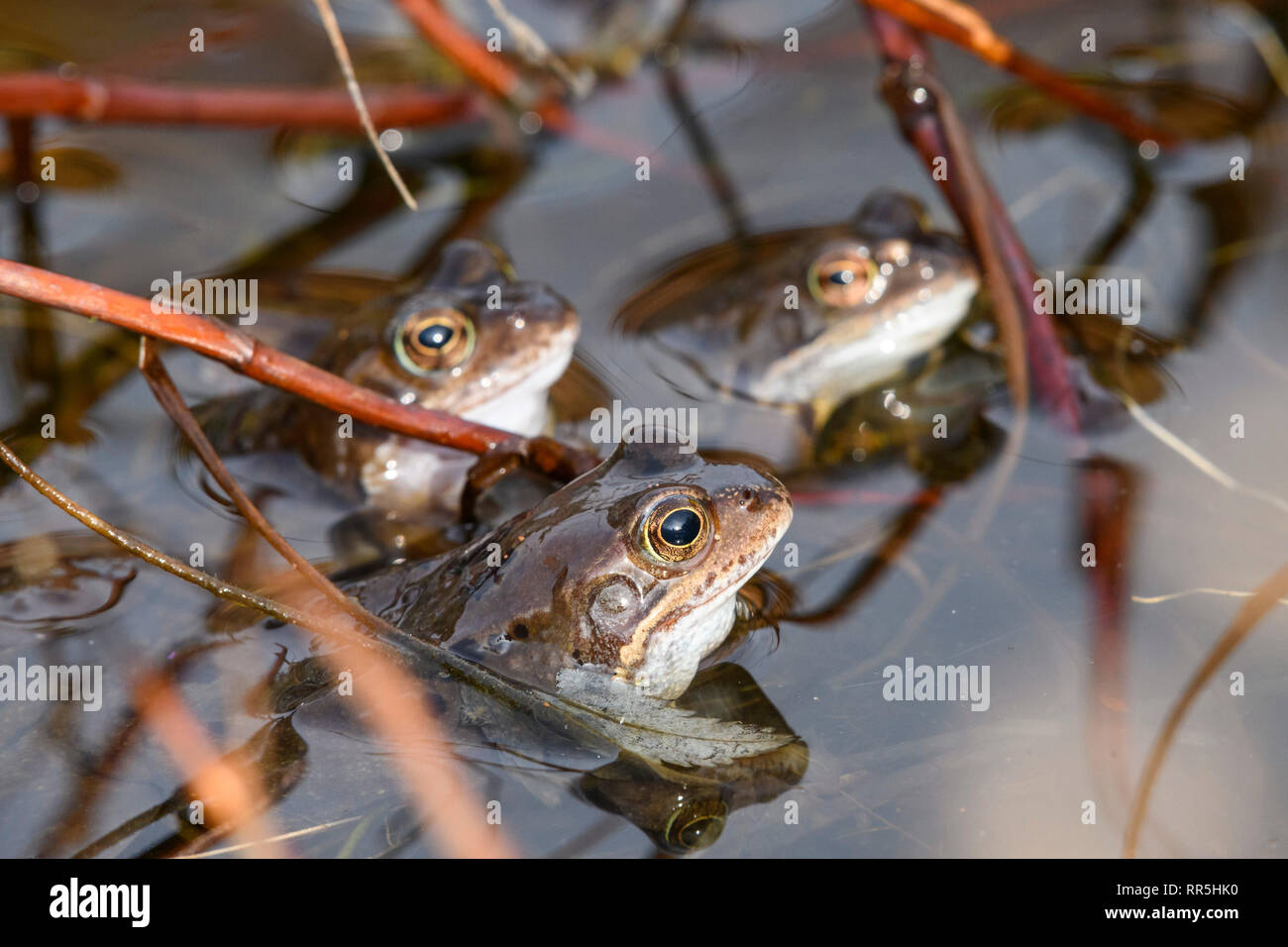 Common Frogs, Rana temporaria, in a pond, Dumfries & Galloway, Scotland - Stock Image