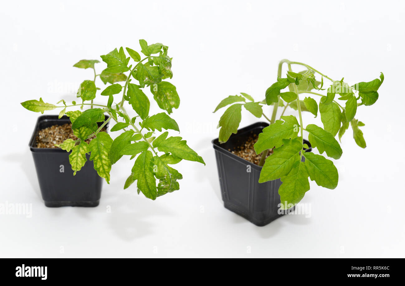 Tobacco Mosaic Virus infected plant (on left) next to a control healthy plant - Stock Image