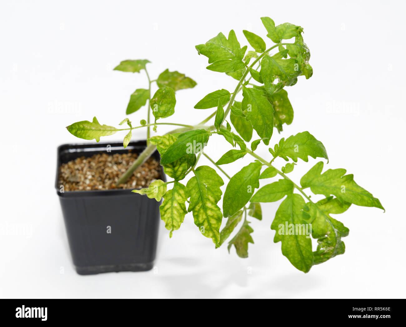 Tobacco Mosaic Virus, TMV, infected plant - Stock Image