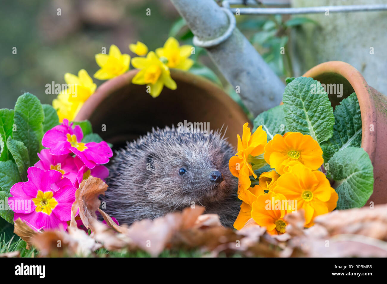 Hedgehog, Scientific name: Erinaceus Europaeus, in Springtime in natural garden habitat with colourful Spring flowers and flower pots. Landscape - Stock Image