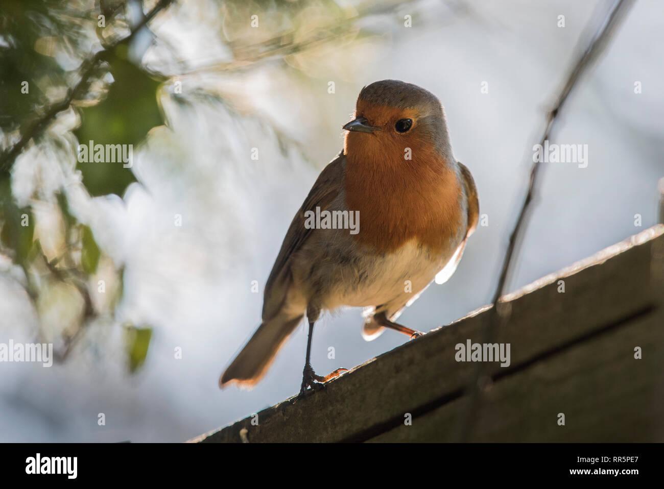 Garden Robin backlit - Stock Image