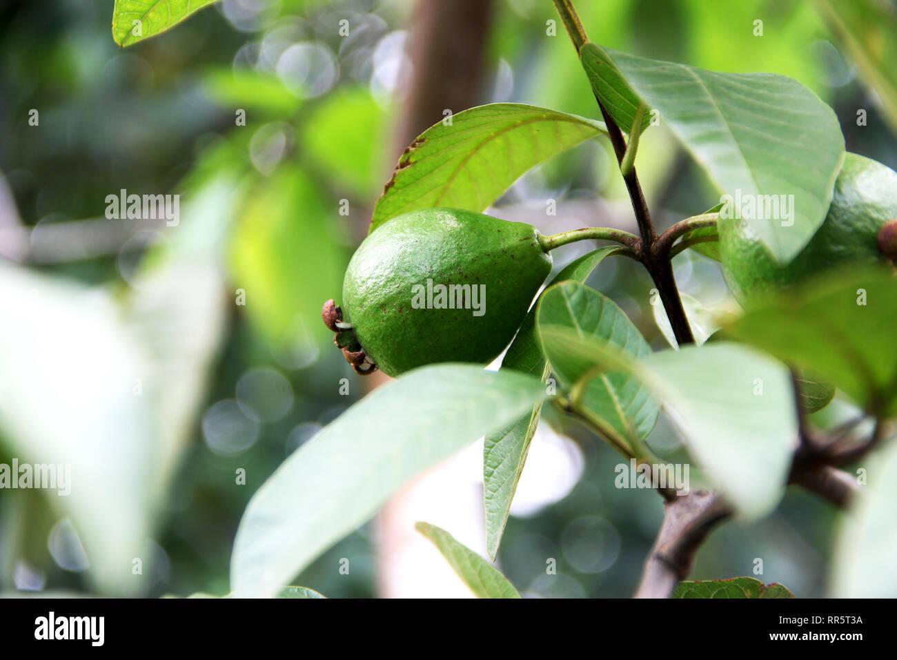 Guava Tree Stock Photos & Guava Tree Stock Images - Alamy