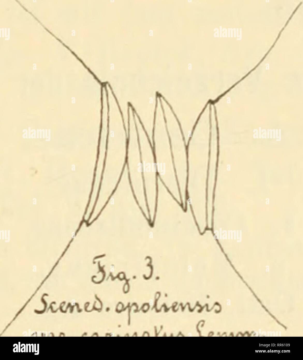 . Abhandlungen herausgegeben vom Naturwissenschaftlichen Verein zu Bremen. Natural history; Natural history -- Germany. 28. Richteriella botryoides (Schmidle) Lemm. 29. Selenastrum Bibraianum Reinsch. 29a. Polyedrium spinulosura Schmidle. Sehr selten im August 1908. (Fig. 2.). 30. 31. 32. DW- CAAvVtoA'vi/» Xev.vvYV. 4. Hydrodictyaceae. Pediastrum Boryanum (Turp.) Menegh. P. duplex Meyen. P. biradiatum Meyen. 32a. Hydrodictyon reticulatum (L.) Lagh. Im August 1908 einige Zellen im Plankton. 5. Ulvaceae. 33. Enteromorpha intestinalis (L.) Link. 6. Chaetophoraceae. 34. Stigeoclonium tenue Kg. 35. - Stock Image