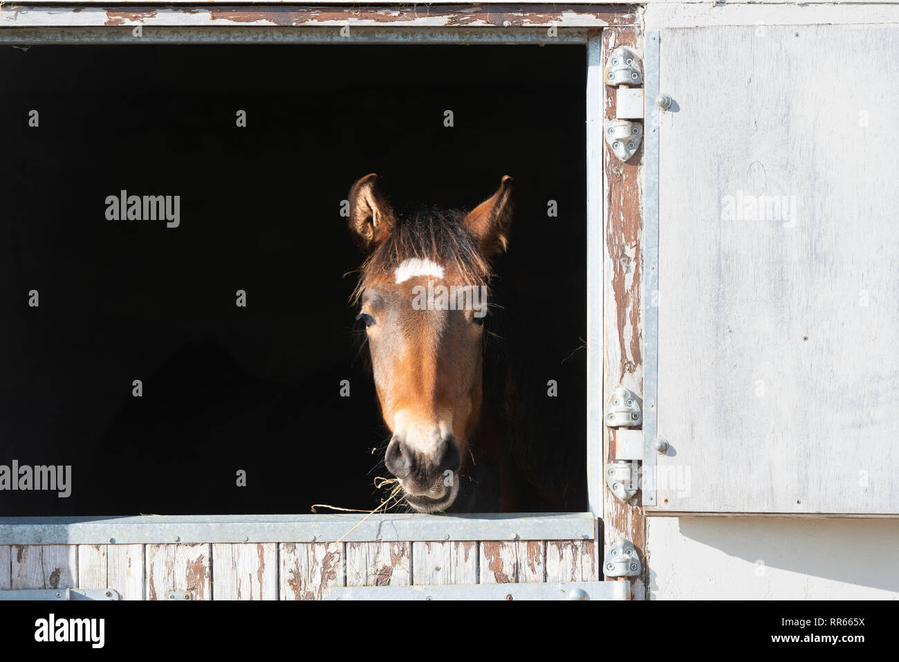 A Lusitano Foal Feeding on Hay Looks Out from a Stable Door - Stock Image
