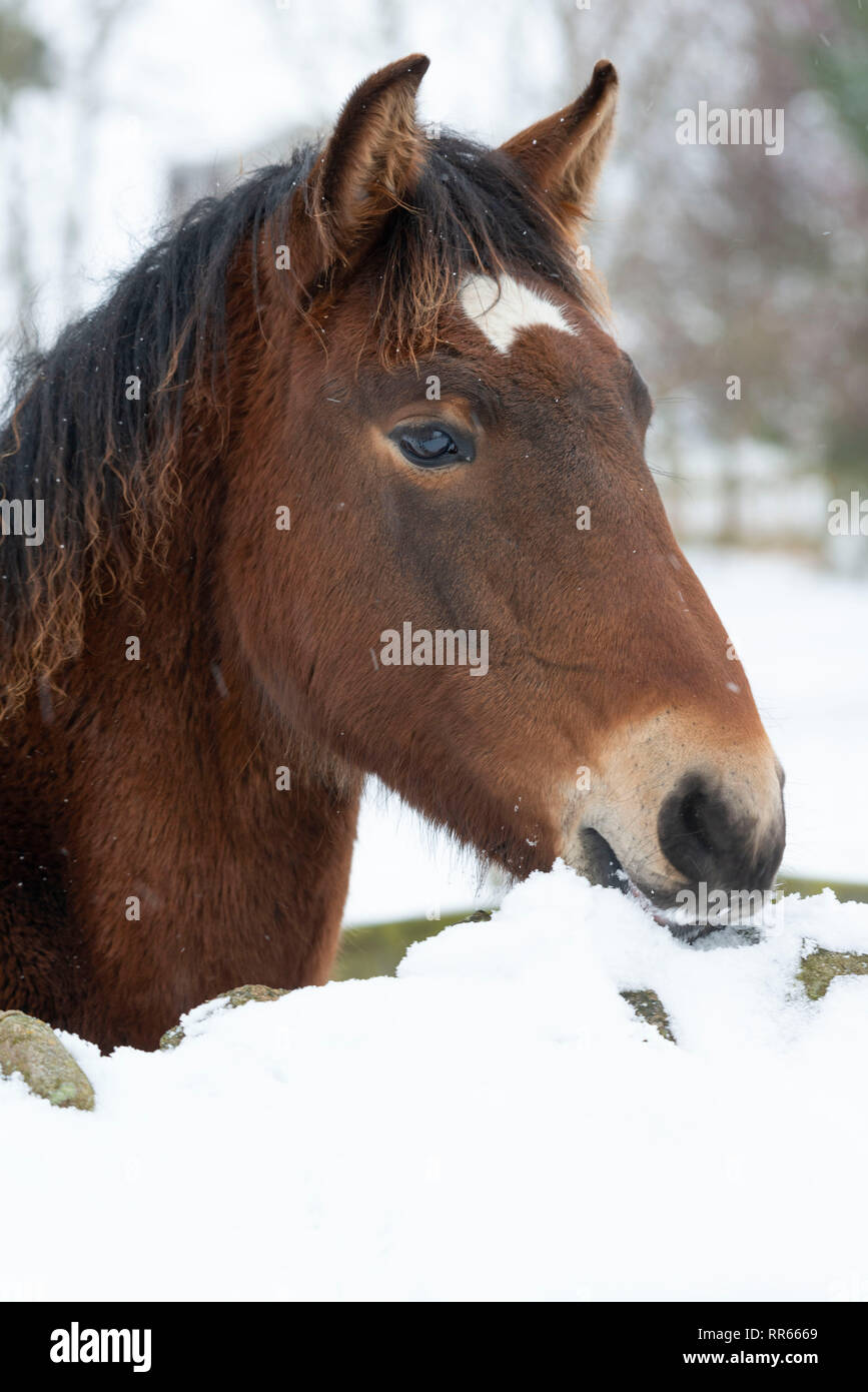 A Lusitano Foal Tries Eating Snow From the Top of a Stone Wall in Scotland. - Stock Image