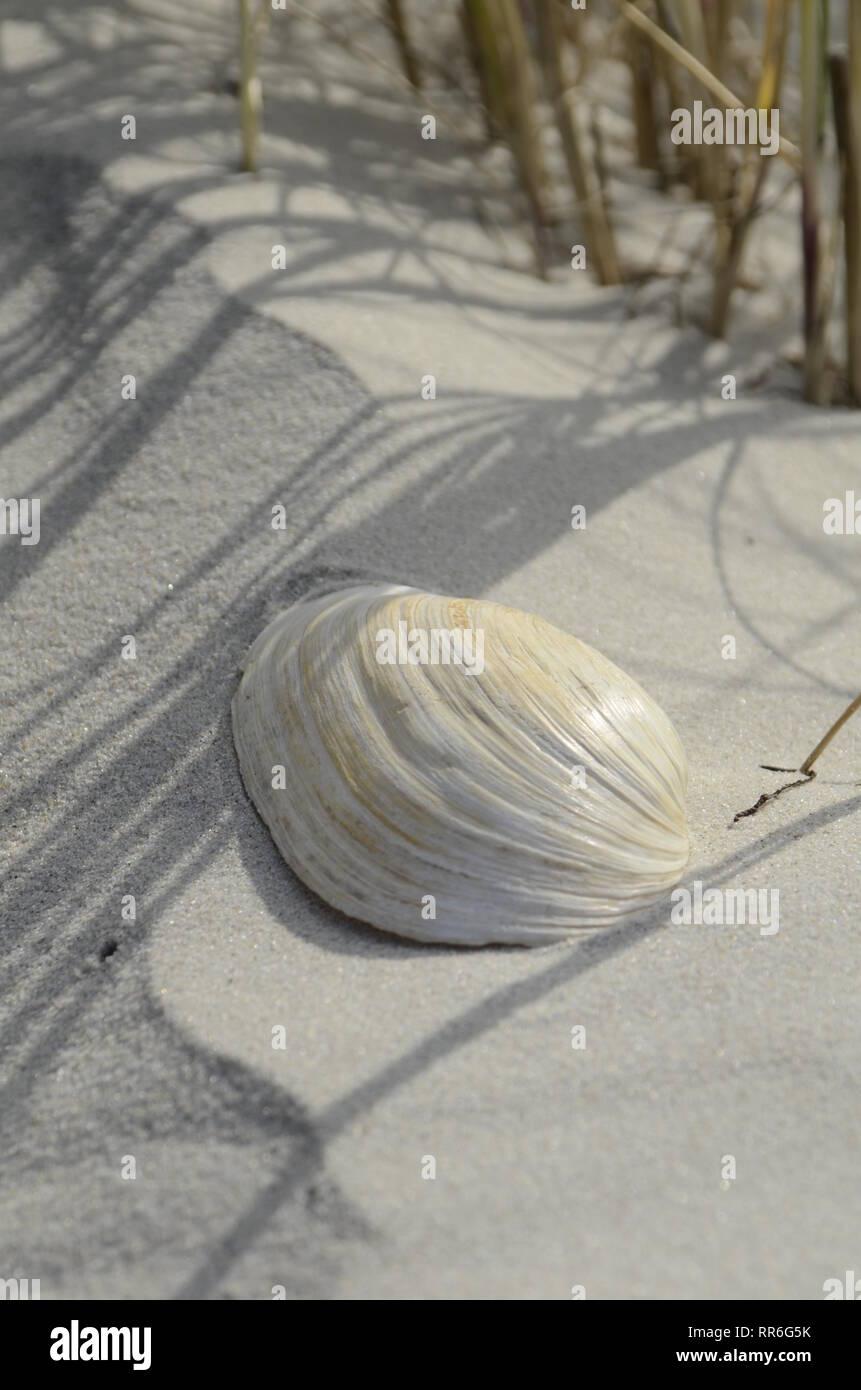 Muschel im Sand - Stock Image