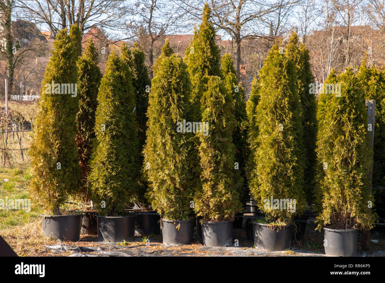 Nursery breeds new Tuja hedges in pots Stock Photo