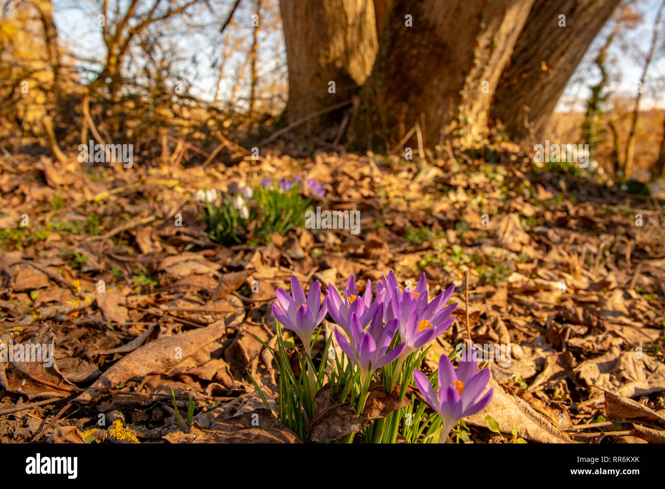 orange crocuses in spring life breaks through the earth - Stock Image