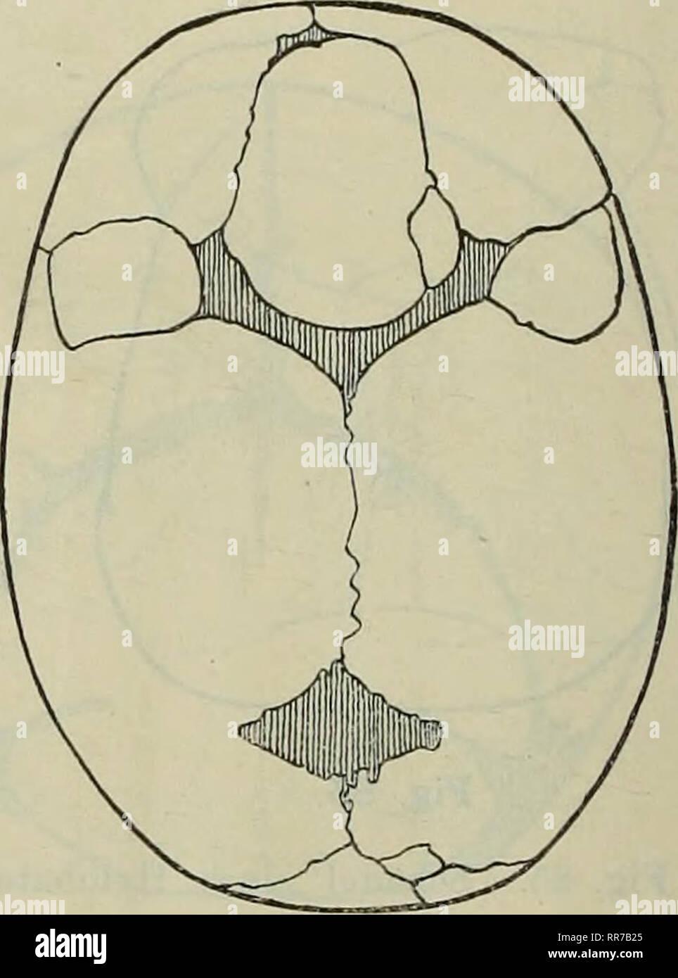 . Abhandlungen der Königlich Bayerischen Akademie der Wissenschaften. . Fig. 87. Fig. 88. Fig. 87. Schädel eines reifen Fötus mit symmetrischen Coronarnathknochen. ^/a natürlicher Grösse. Fig. 88. Gulliver's fötaler Schädel mit kolossalen symmetrischen Kranznathknochen. Daneben Fon- tanellknochen der grossen Fontanelle, sehr erweitertes, noch einfaches Foramen parietale. (Journal of Anatomy u. Physiology 1890/91. Proceedings of the Anat. Soc. of gr. B. and J. November 1890, S. 2.) Copie 2/3 des Originals. individuell beträchtliche Verschiedenheiten aufweisen, erhalten auch die sie ausfüllenden - Stock Image