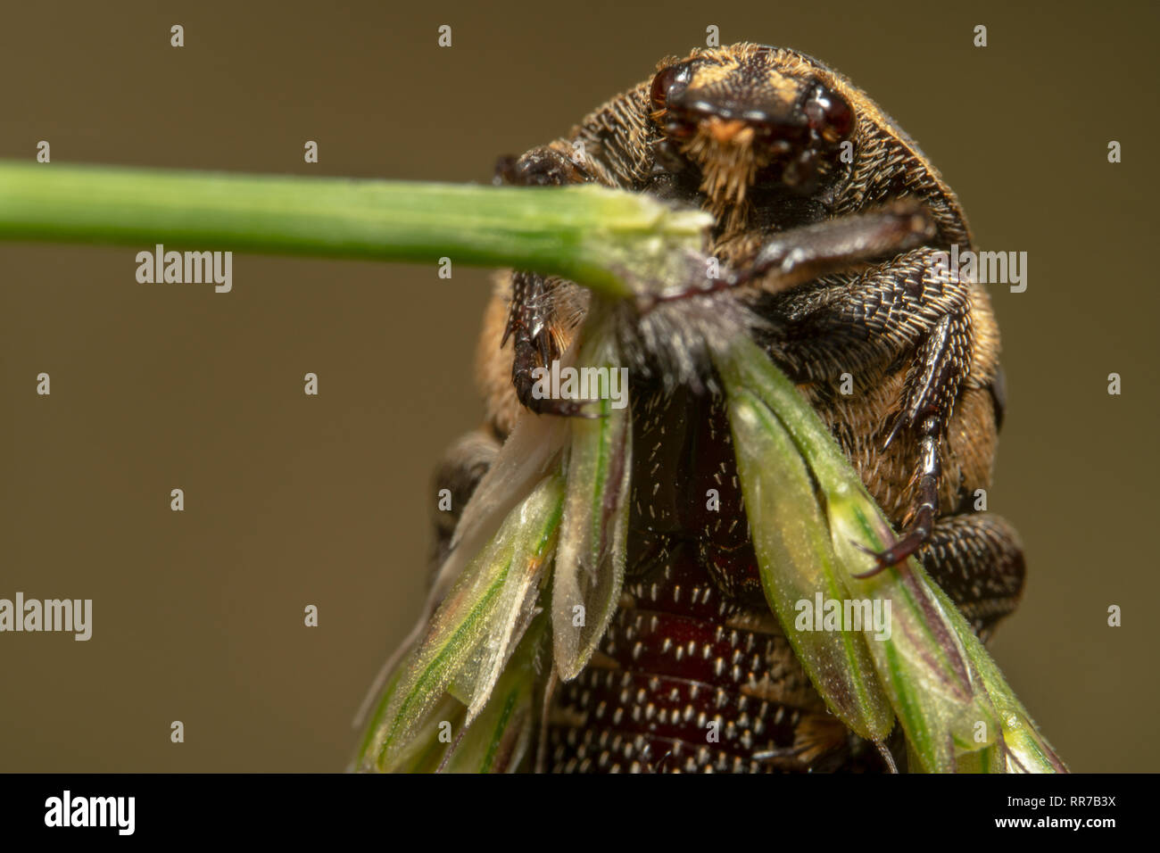 Portrait close up shot of a Light colour Varied carpet beetle Anthrenus verbasci on the right side holding onto a green plant Stock Photo