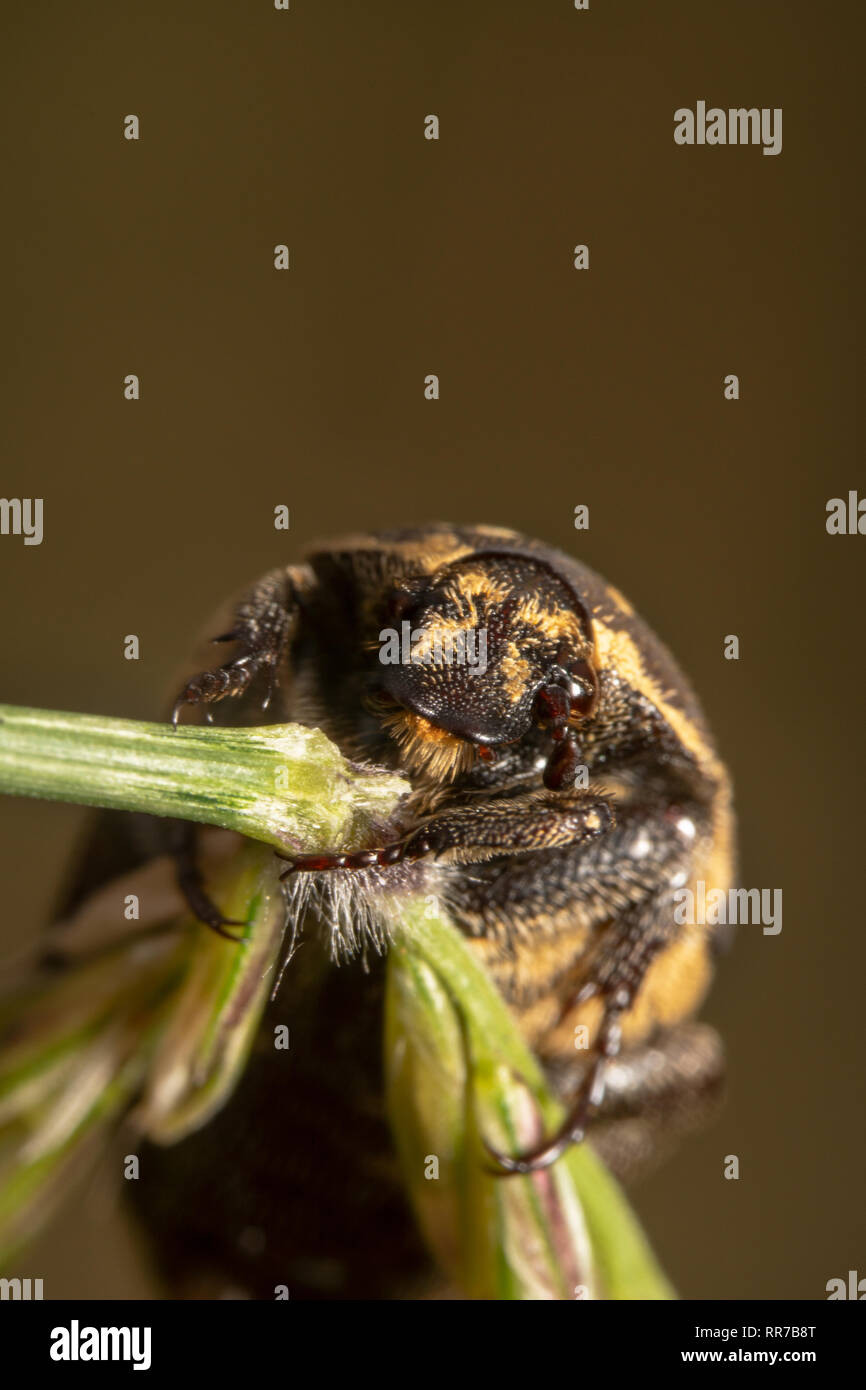 Portrait shot of a Light colour Varied carpet beetle Anthrenus verbasci holding tightly on a green plant tilted and is about to fall Stock Photo