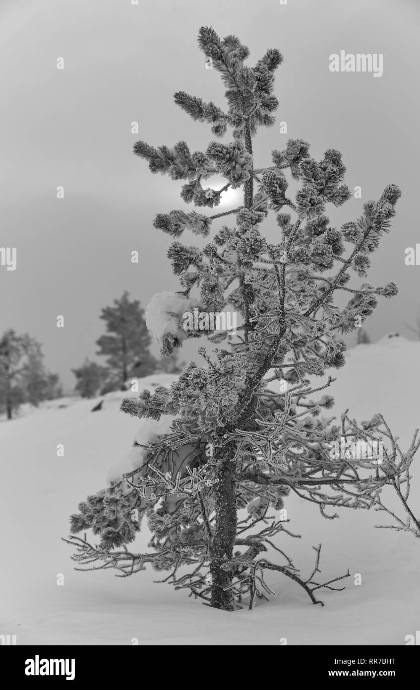 Icy and snowy pine tree on a fell in Lapland, Finland on cloudy winter afternoon - Stock Image