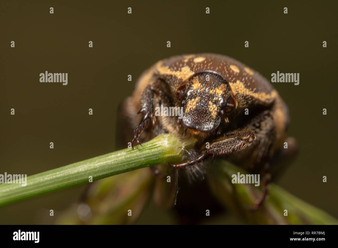 Light colour Varied carpet beetle Anthrenus verbasci holding tightly on a green plant with two big eyes on focus Stock Photo
