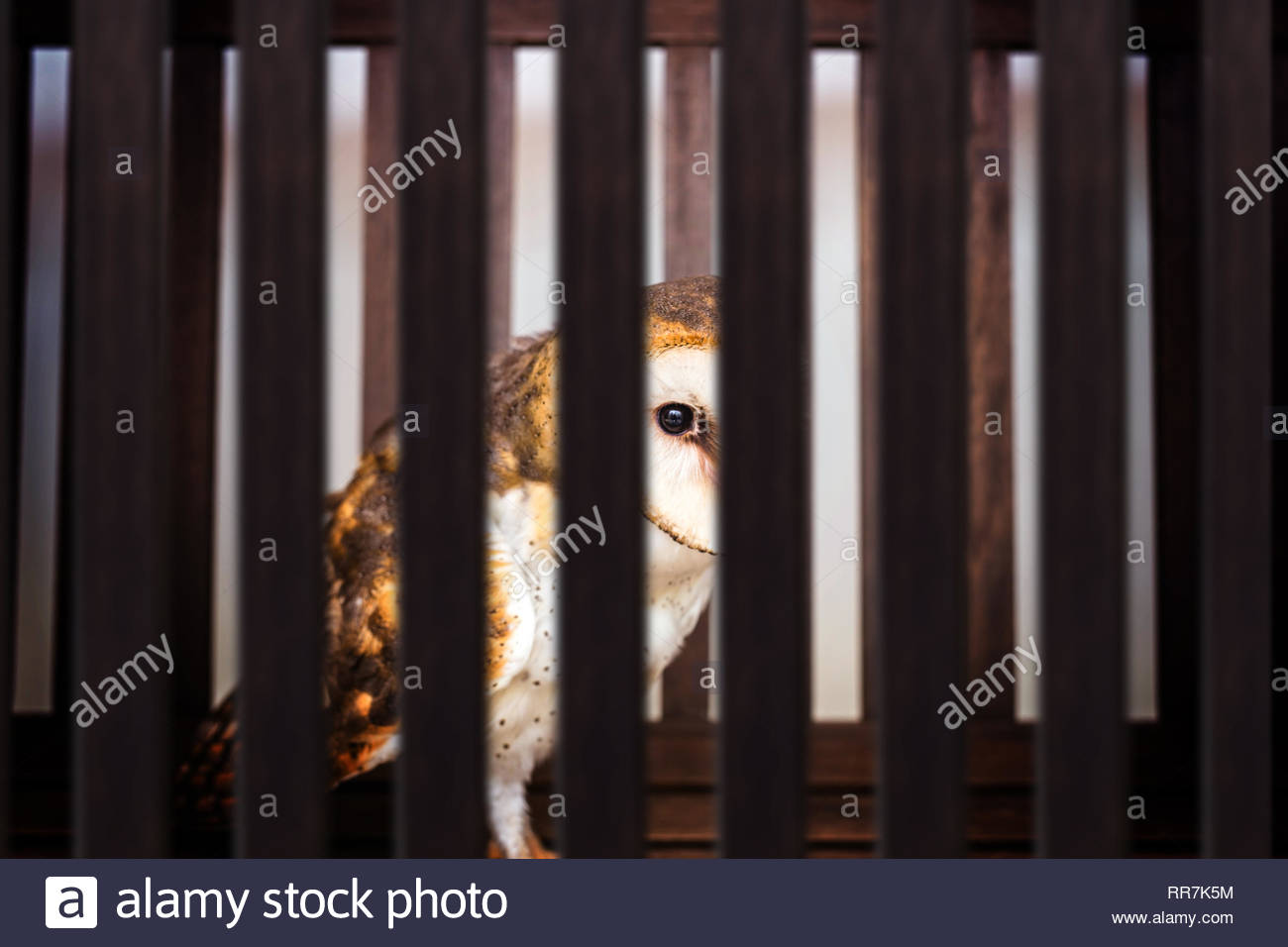 smuggling of animals. Photomontage of owl inside a wooden cage, mistreatment of exotic birds. - Stock Image