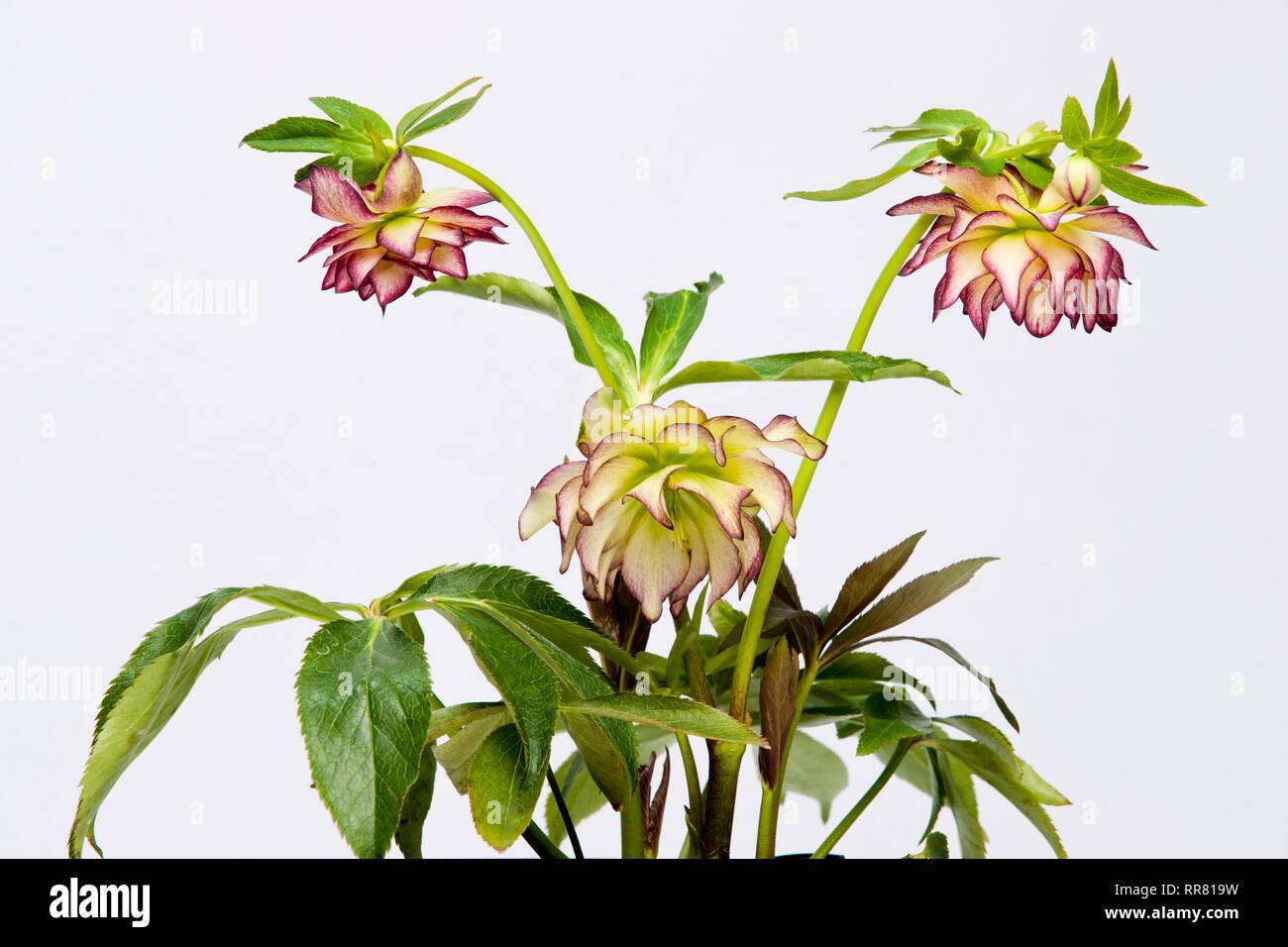 Helleborus x hybridus 'Sun Flare' - Stock Image
