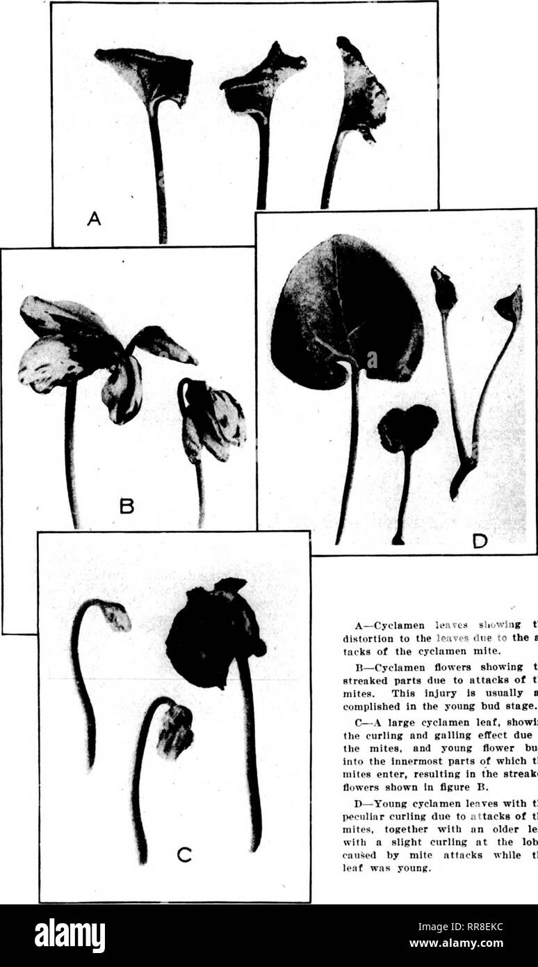 . Florists' review [microform]. Floriculture. ??,-'f.'-Ts;7''^rfj»^ • NOVEMBEK 23, 1922 The Florists^ Review 29 stated, should stop when the flower buds begin to show color, because the solution is likely to discolor the flowers and would be no longer needed, at any rate, as the plants would then be so far advanced as to be beyond serious dan- ger from the mites. At this time, how- ever, a daily or twice-daily spraying with clear water may be substituted for the nicotine spraying, if the weather is favorable. CHRYSANTHEMUM SOCIETY. Examining Committees. The committees appointed by the Chrysant - Stock Image