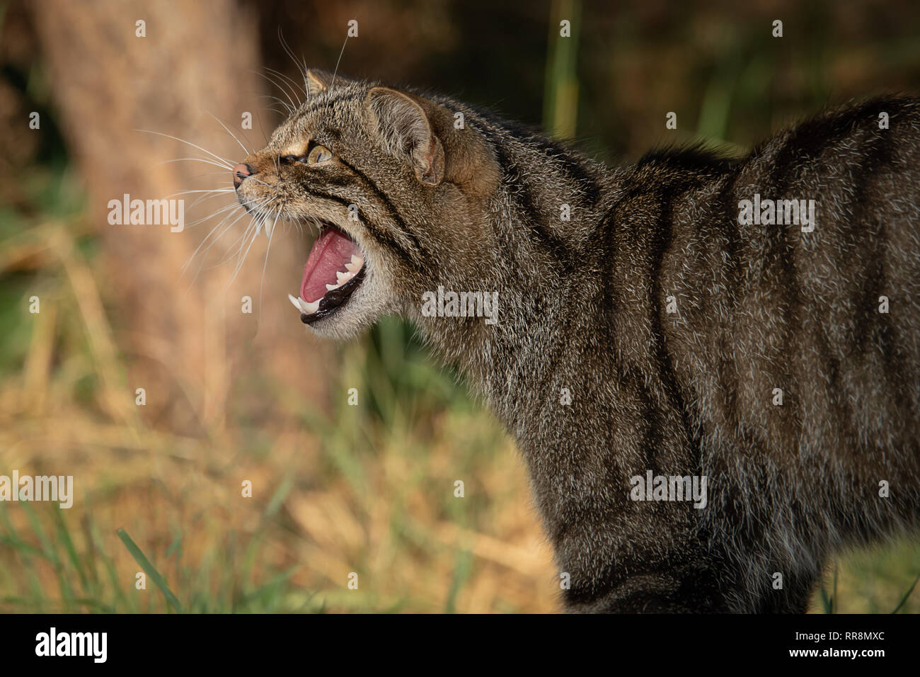 A close up side view portrait of a scottish wildcat facing to the left with its mouth open snarling and showing teeth - Stock Image