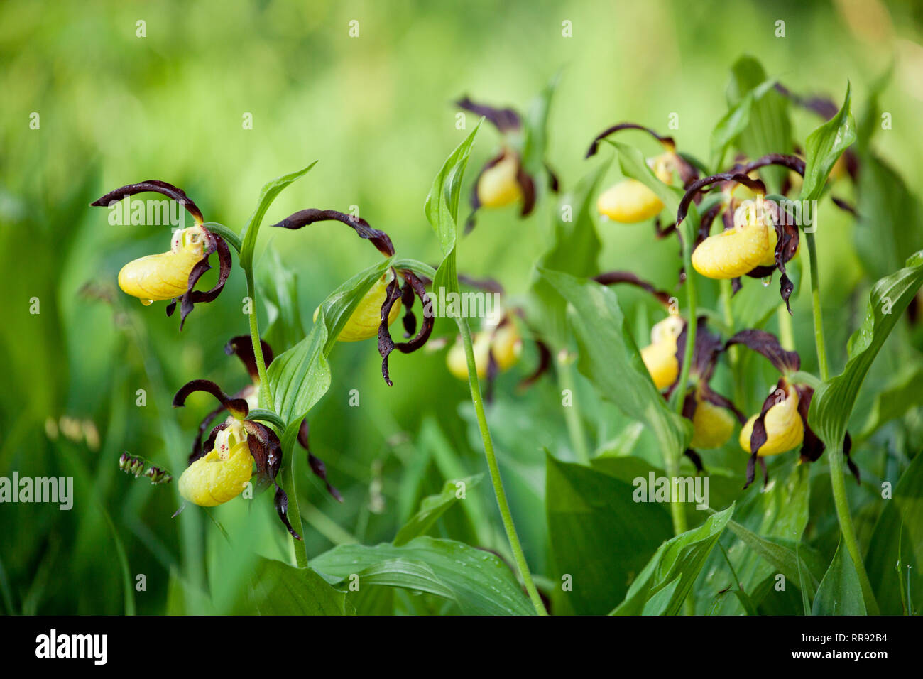 botany, Lady's Slippers, (Cypripedium), species, Nerve root, (Cypripedium calceolus), blossoms, Additional-Rights-Clearance-Info-Not-Available - Stock Image