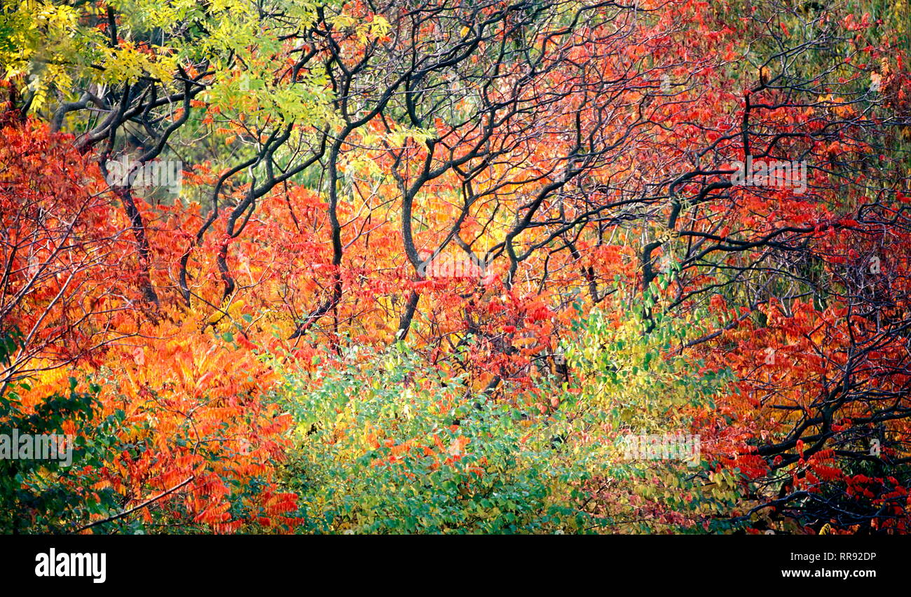 botany, bush, bush with autumn leaves, Vienna, Austria, Additional-Rights-Clearance-Info-Not-Available - Stock Image