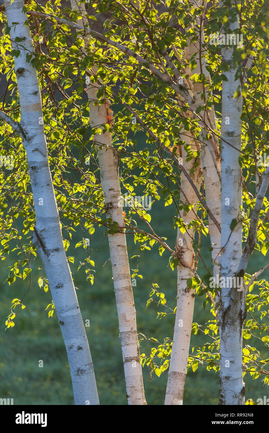 botany, birch (Betula), five birch, Upper Bavaria, Bavaria, Germany, Additional-Rights-Clearance-Info-Not-Available - Stock Image
