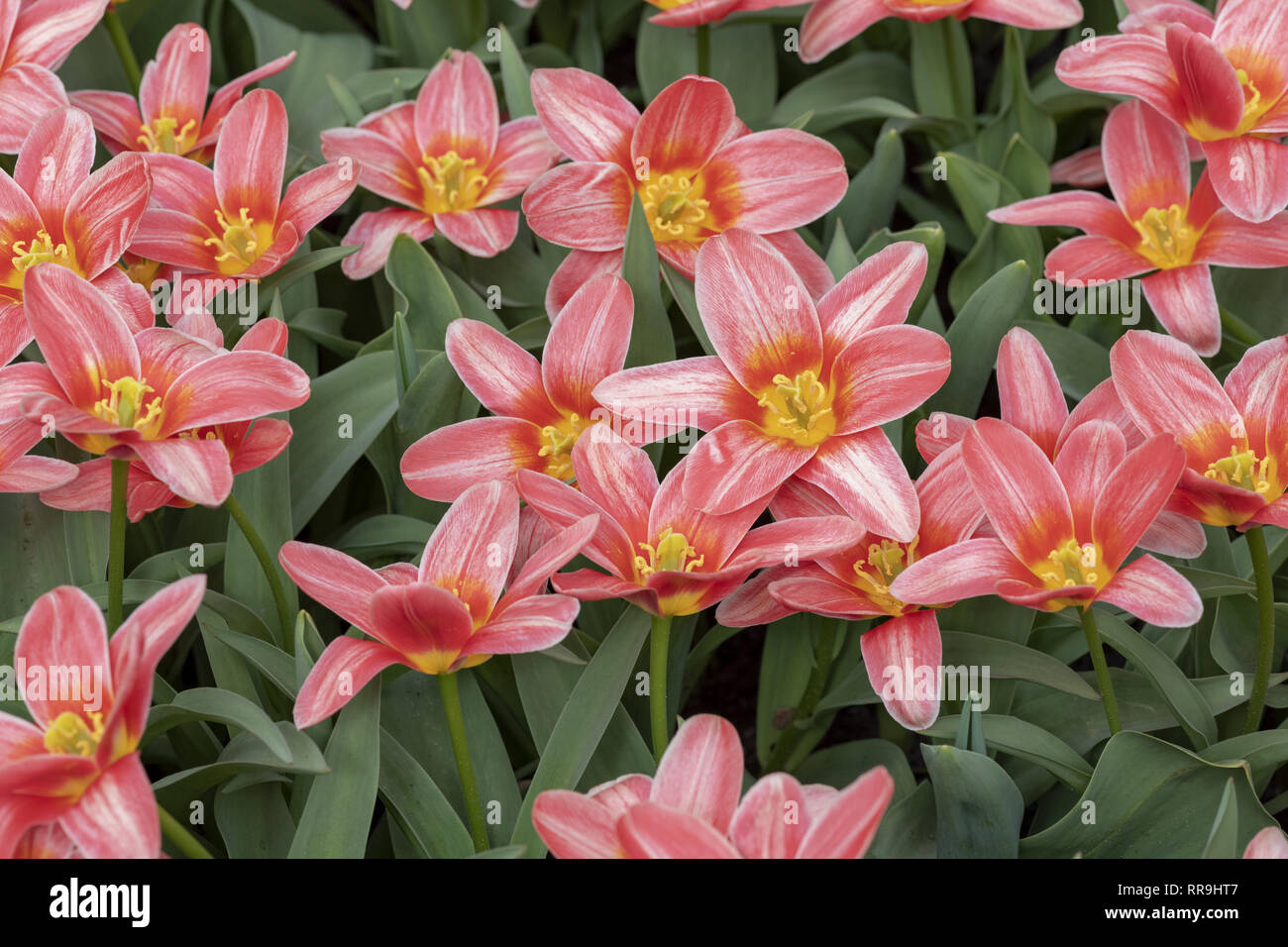 Derived from the Greek word 'leiron,' , the lily was so revered by the Greeks that they believed it sprouted from the milk of Hera, the queen of the g - Stock Image