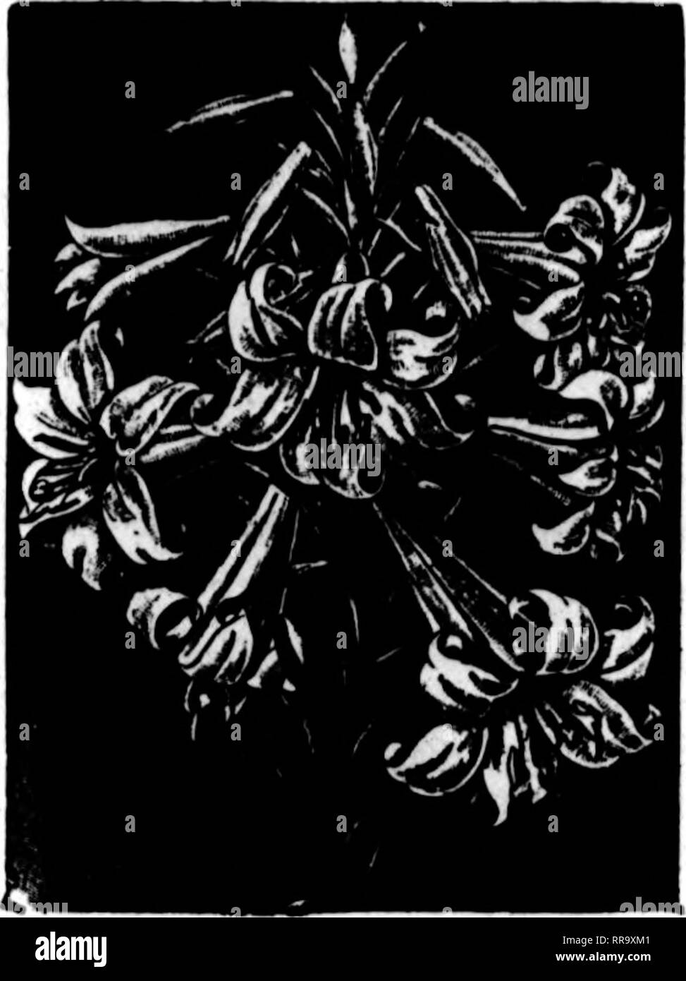 . Florists' review [microform]. Floriculture. Kydranareaa—A flne and large stock of French varieties; we have never had them DBtter; full of flowers; 6-lnch, $1.00, $1.25. $1.50 and $2.00; 7-lnch. $2.50 an.l $3.00 each. UUnm laaltlfloram—Extra flne plants running from 5 to 10 buds per plant, medium and tall; 5%-inch pots at 25c per bud and bloom. No lilies sold separately. Clnerariaa—We are the largest grow- ers of these beautiful plants in Philadelphia and have all the best varieties, with all colors of the rain- bow; 5-inch, 40c; 5%-inch, 50c; 6- Inch, 75c and $1.00 each. Bomb — Fine heavy s - Stock Image