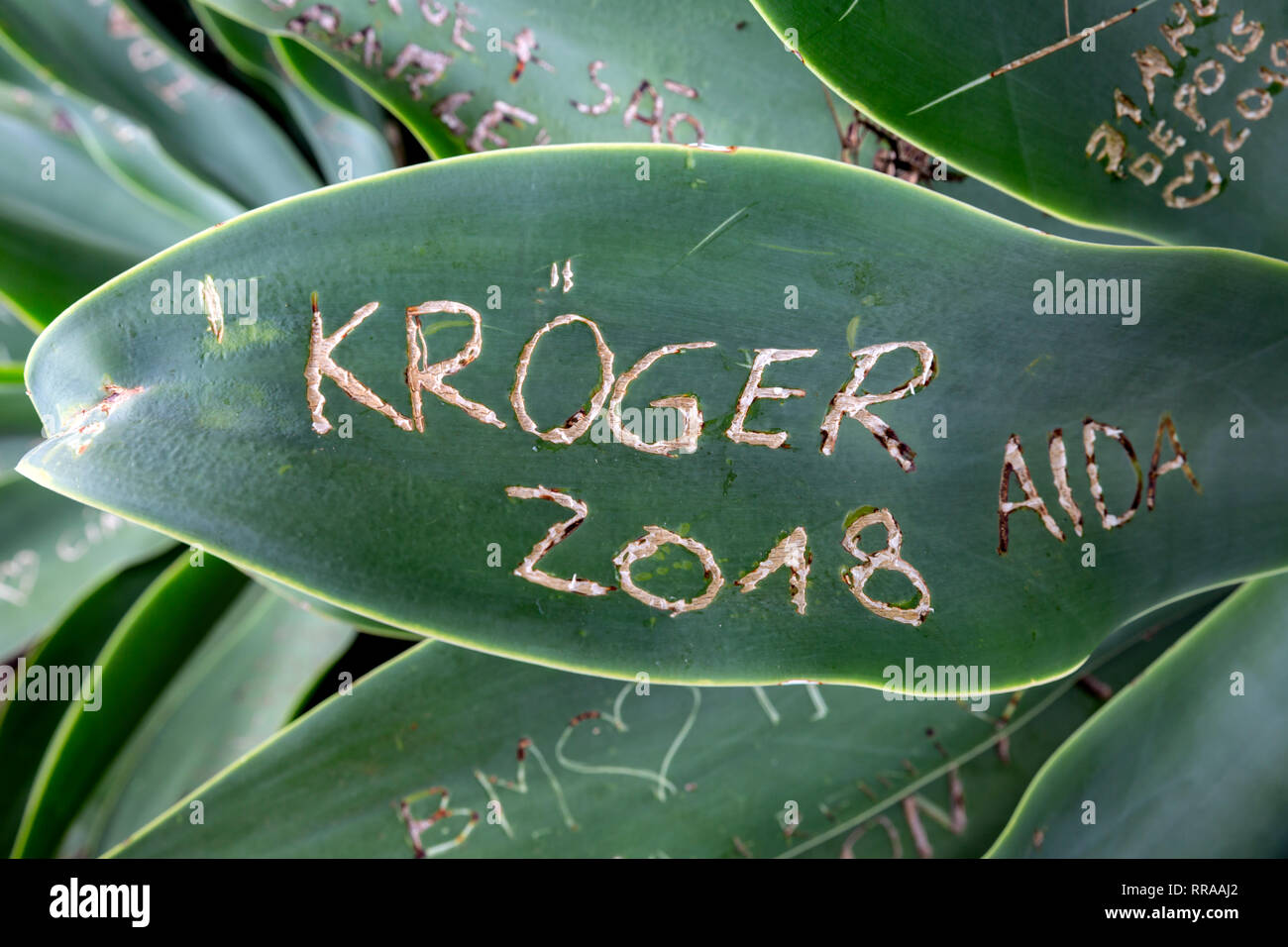 Agave plant with graffiti writing scratched into it's leaves. - Stock Image