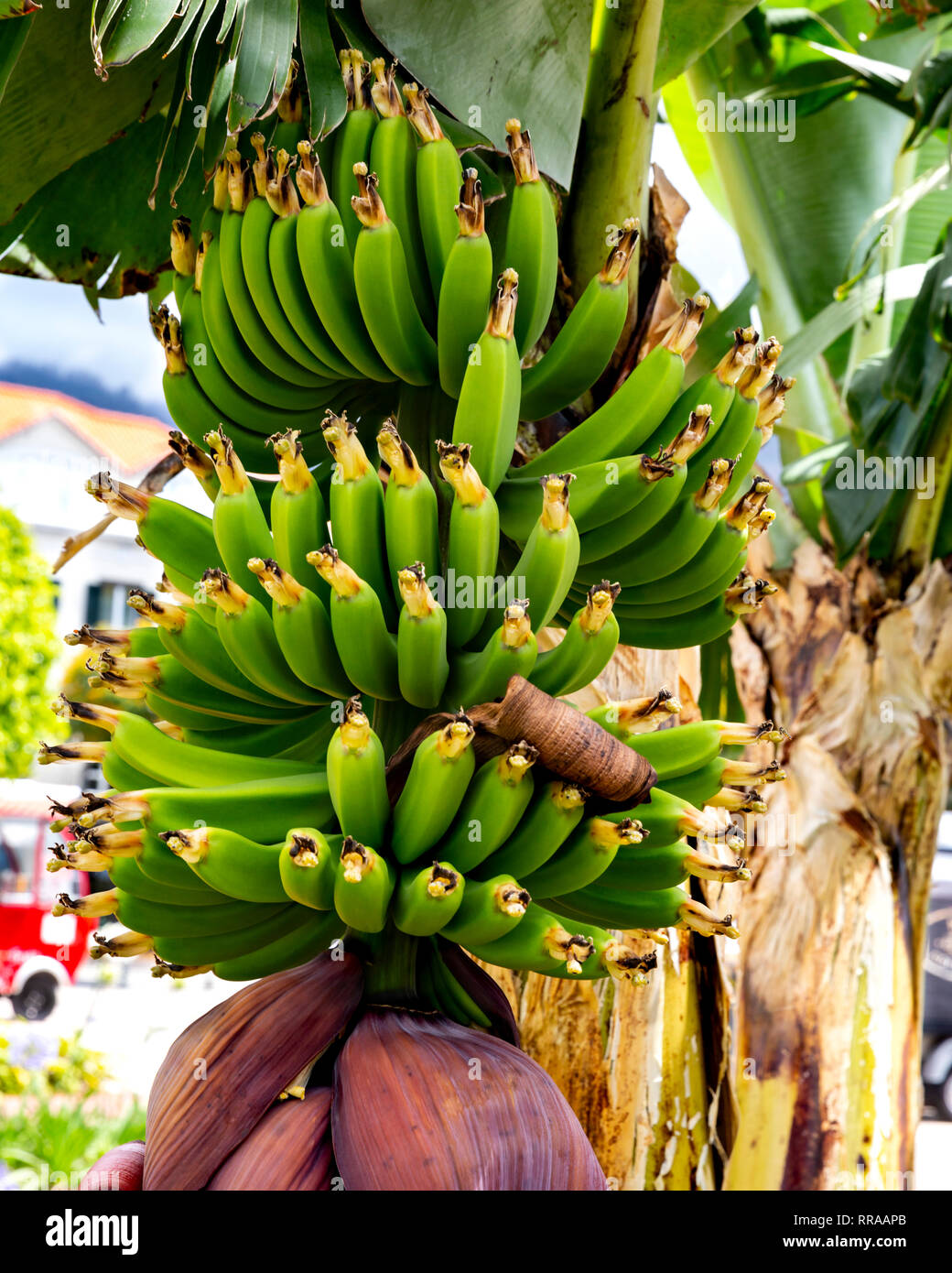 Banana plant with ripening fruit and flower, Funchal, Madeira, Portugal. - Stock Image