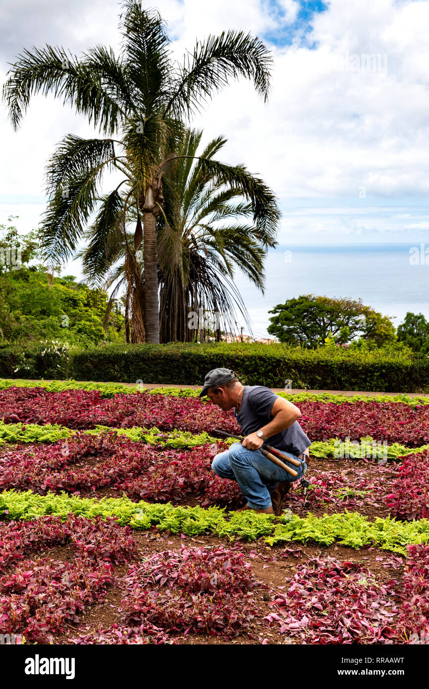 Gardener tending to bedding plants, the Botanic Gardens (Jardim Botanico), Funchal, Madeira, Portugal. - Stock Image