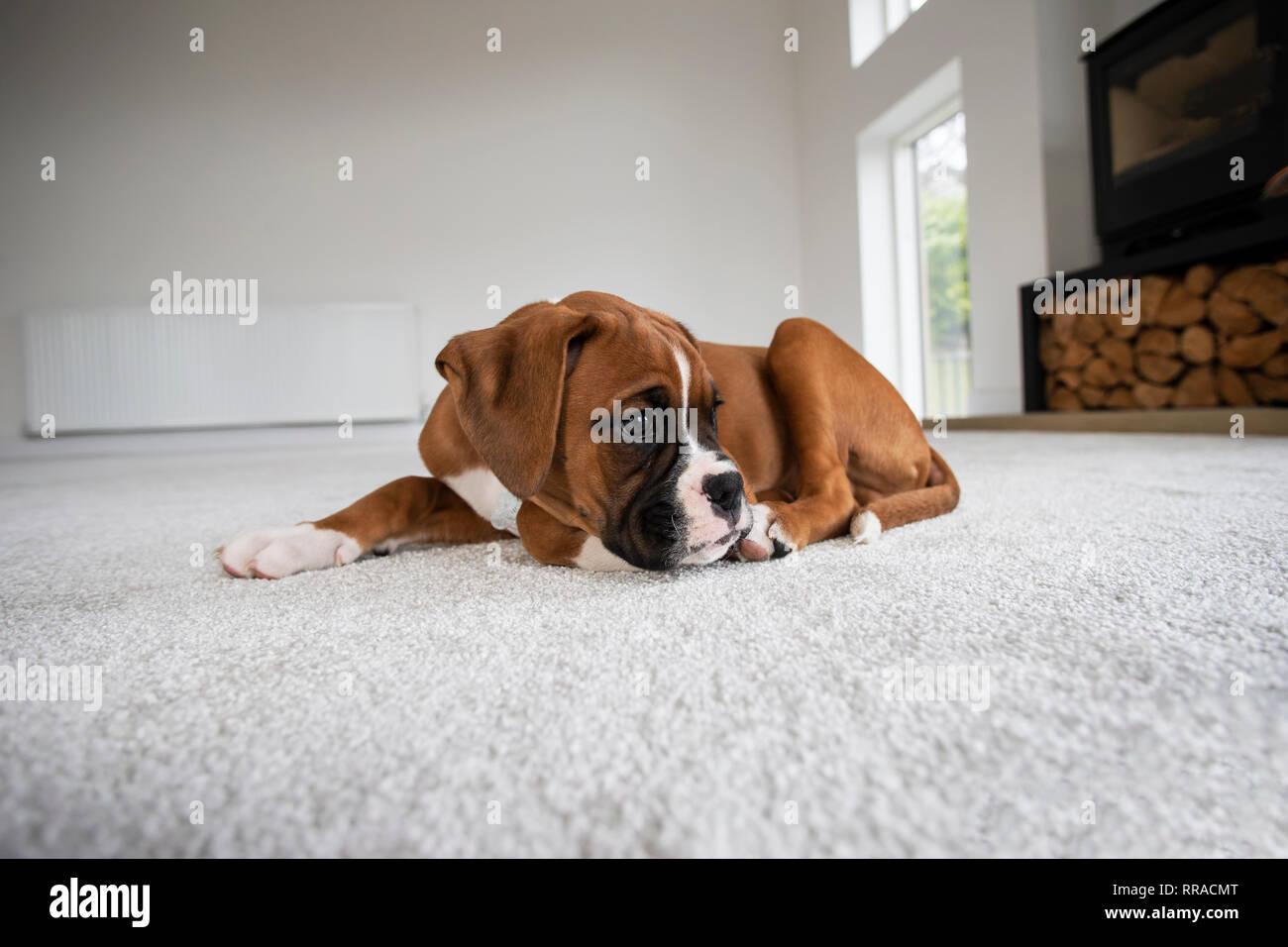 Ten week old boxer dog puppy lying on a white carpet at eye level - Stock Image