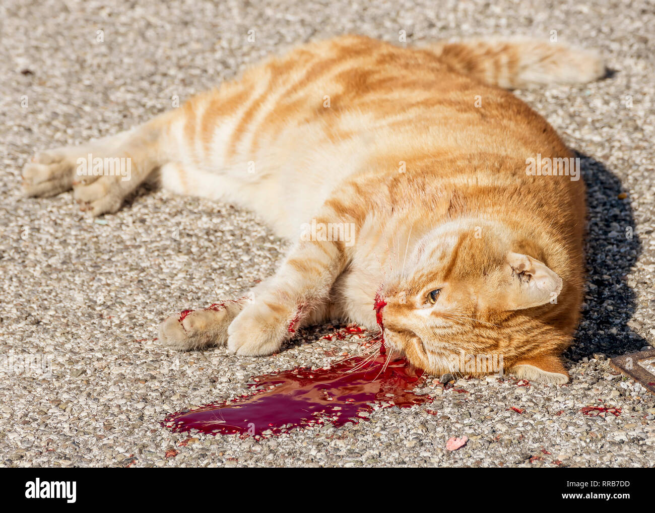 Beautiful red cat killed by man's cruelty after losing a lot of blood - Stock Image