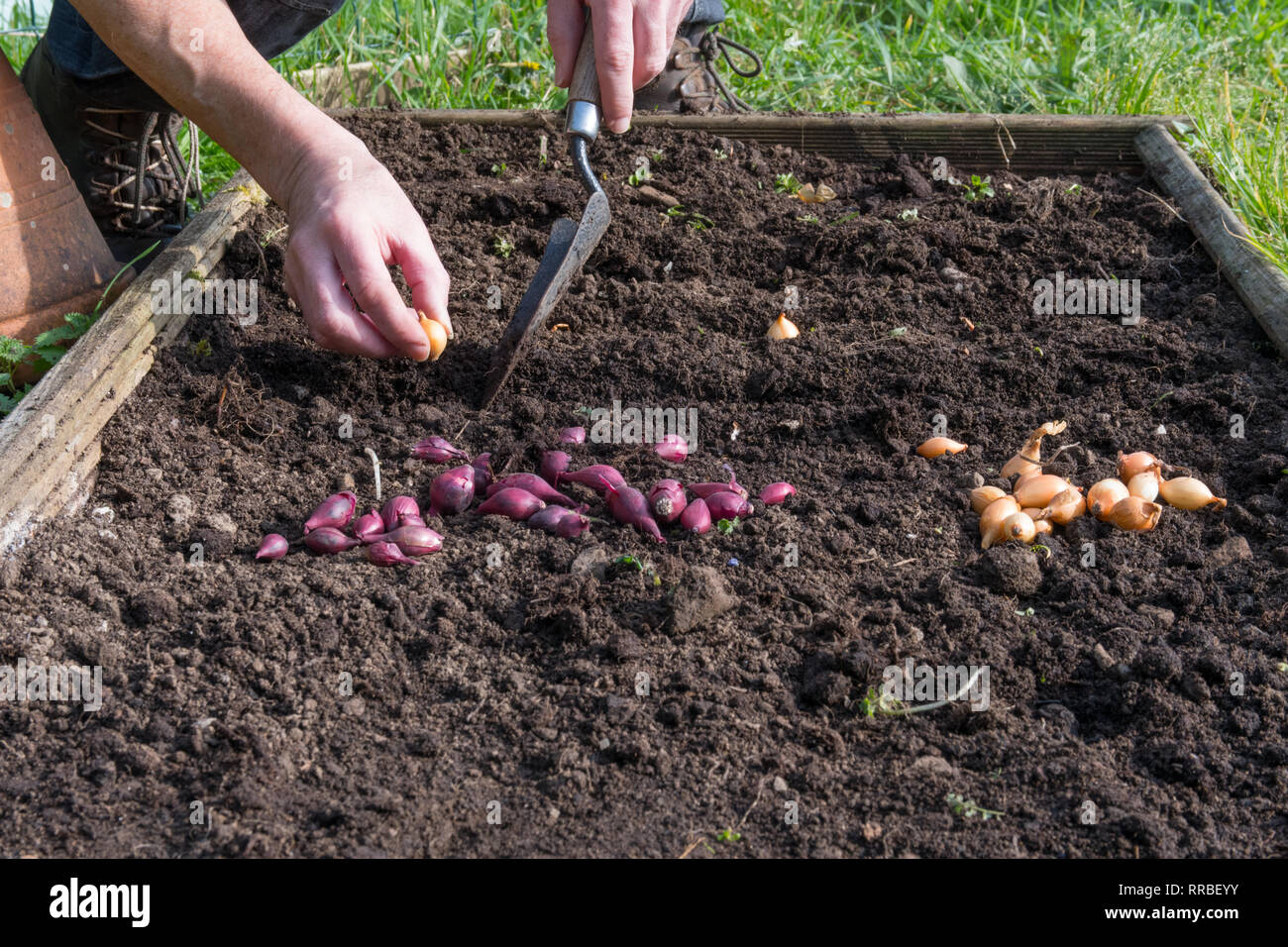 Man planting onion sets with trowel in ground - Stock Image