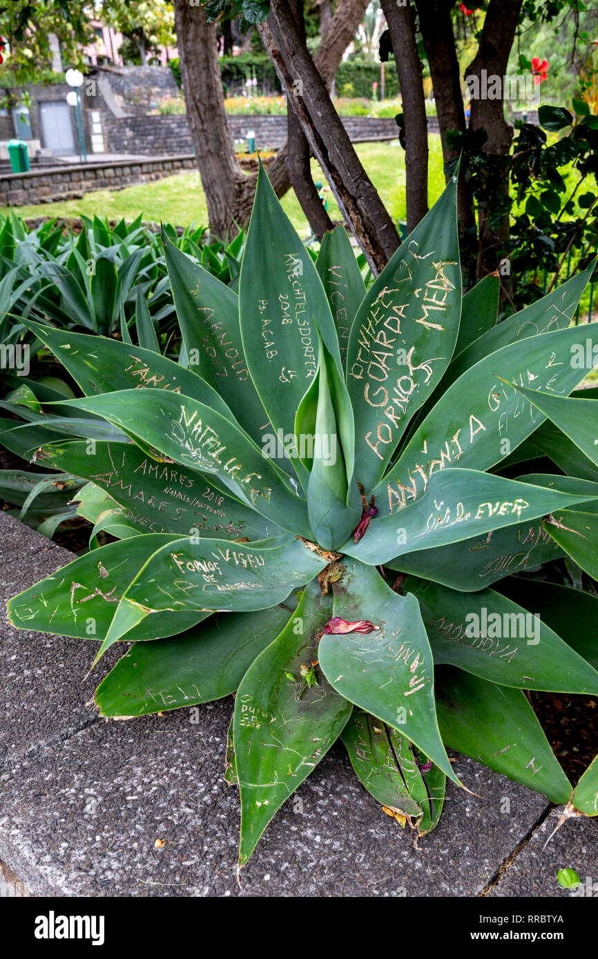 Vandalised agave plant with graffiti writing scratched into it's leaves. - Stock Image