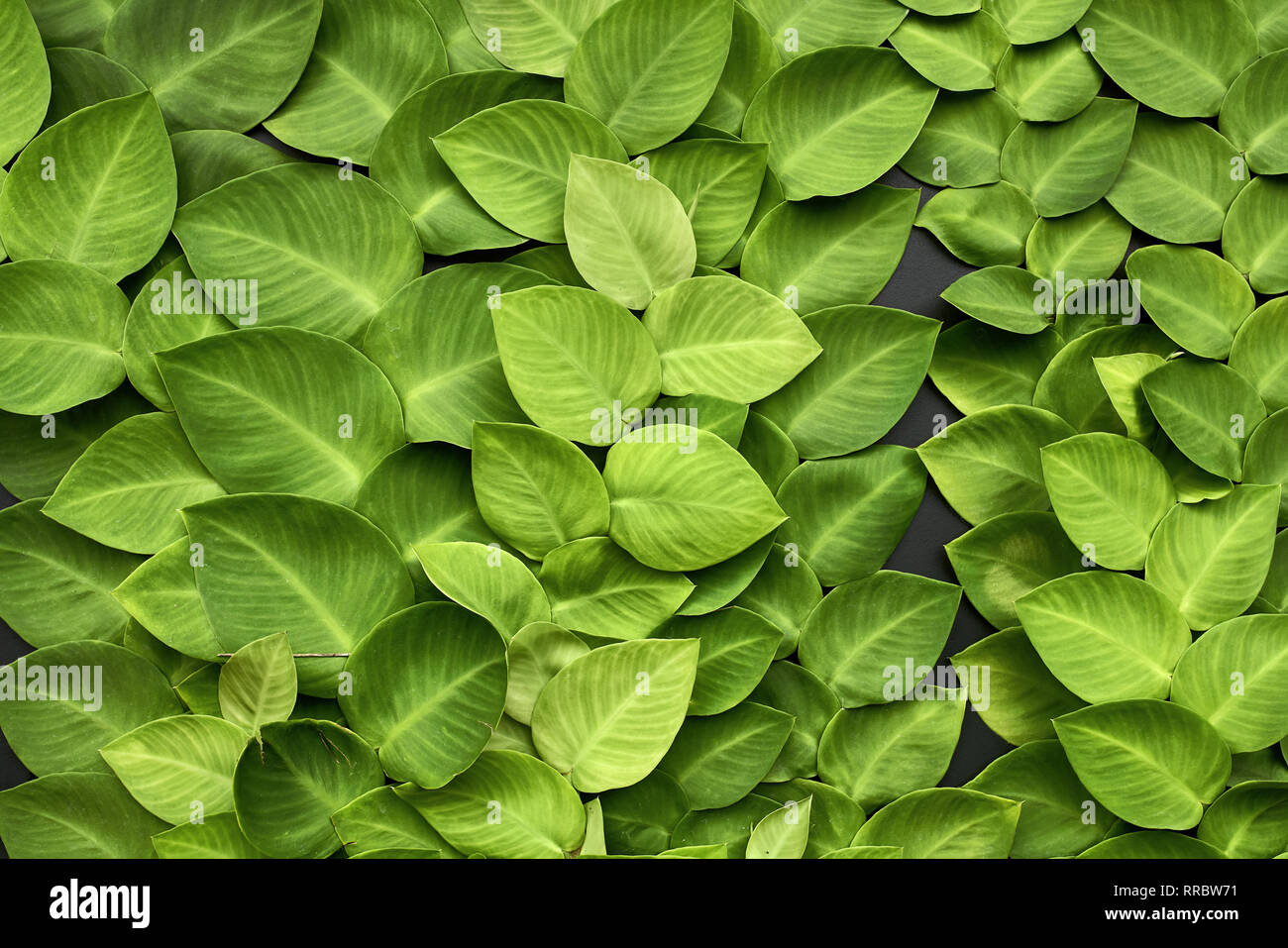 Bright Green Leaves Of Creeper Plants On The Dark Wall Closeup Horizontal Photo Stock Photo Alamy