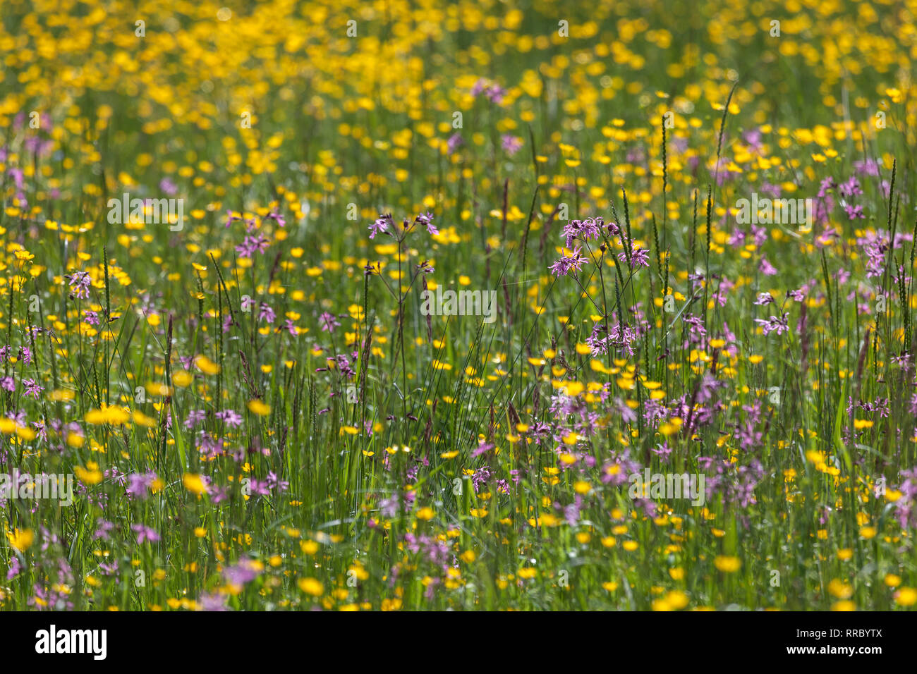 botany, crowfoot (Ranunculus), marshy meadow with crowfoot, Additional-Rights-Clearance-Info-Not-Available - Stock Image
