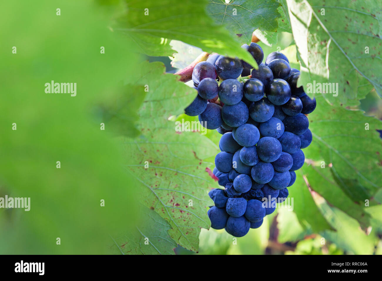 botany, vine, Blauer Portugieser bunch of grapes in the Siefersheimer vineyard, Rhine-Hesse, Germany, Additional-Rights-Clearance-Info-Not-Available Stock Photo