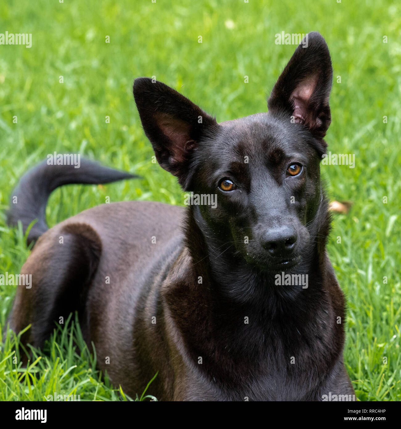 A portrait of a x-breed dog, rescued as a puppy. - Stock Image